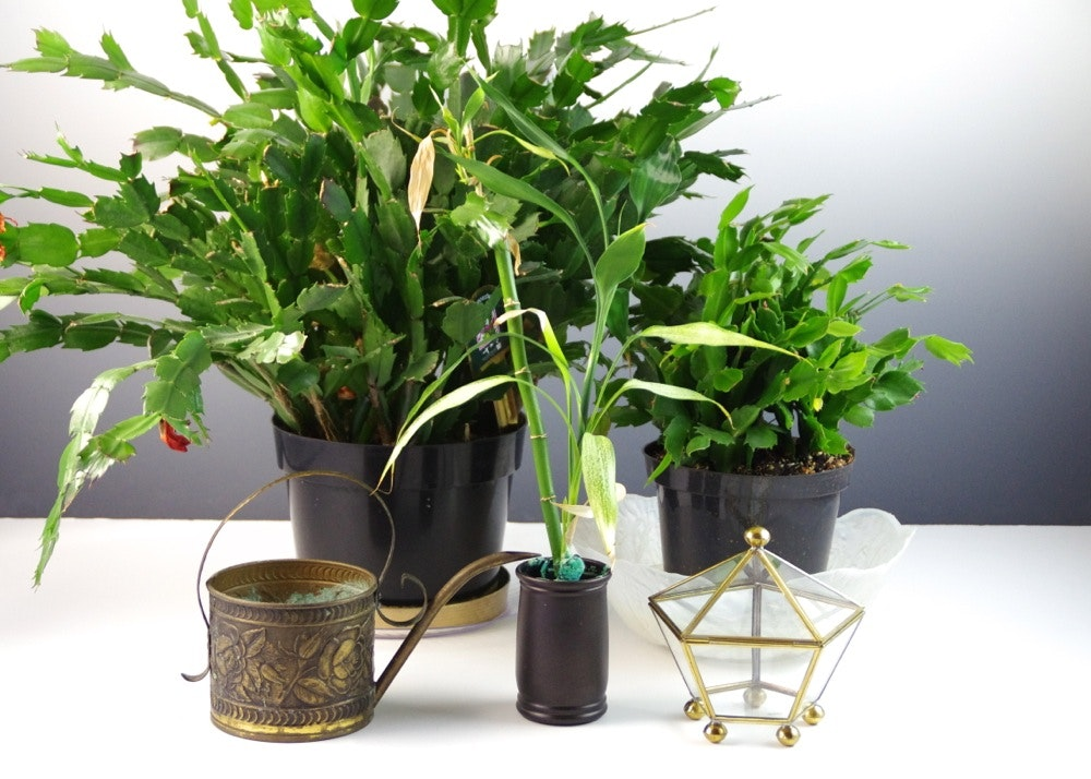 Two Live Christmas Cacti Brass Watering Can And Glass Terrarium Ebth