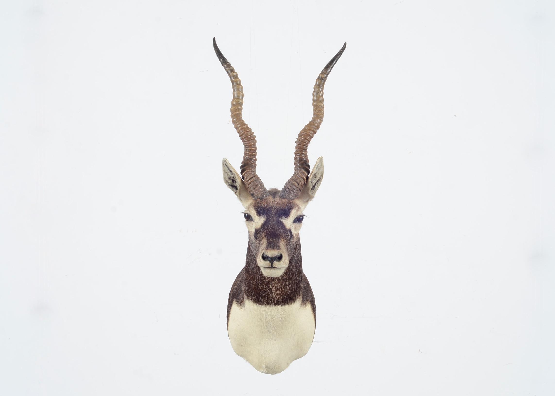 Blackbuck antelope mount - photo#18