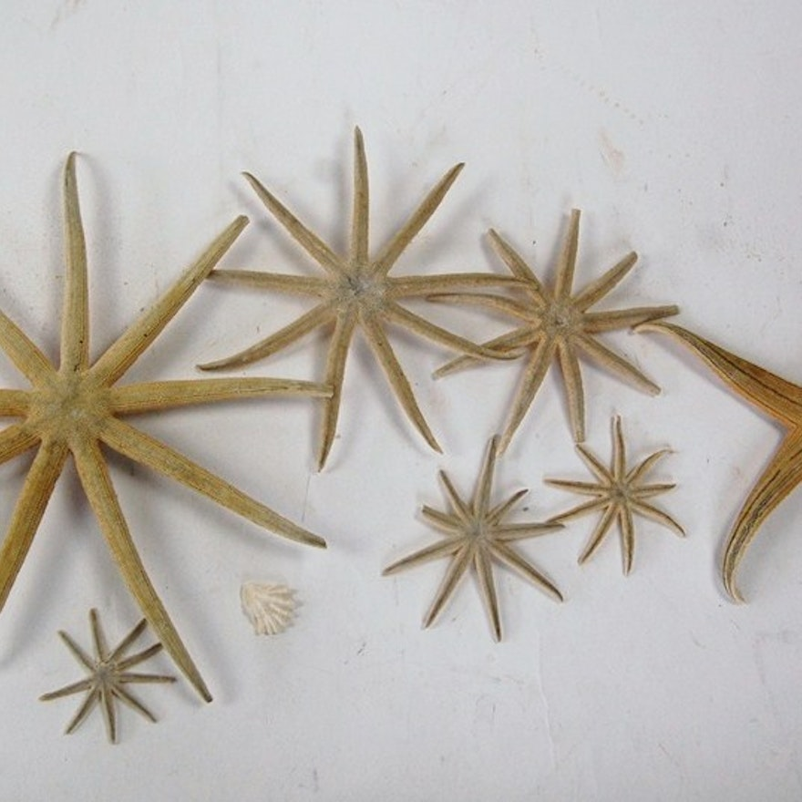 collecting starfish essay Crown of thorns starfish ã¯â¿â½ the great barrier reef (gbr) is the largest collection of coral reefs in the world it extends over 2000km off the northeastern coast of australia and is home to a very diverse range of living creatures.