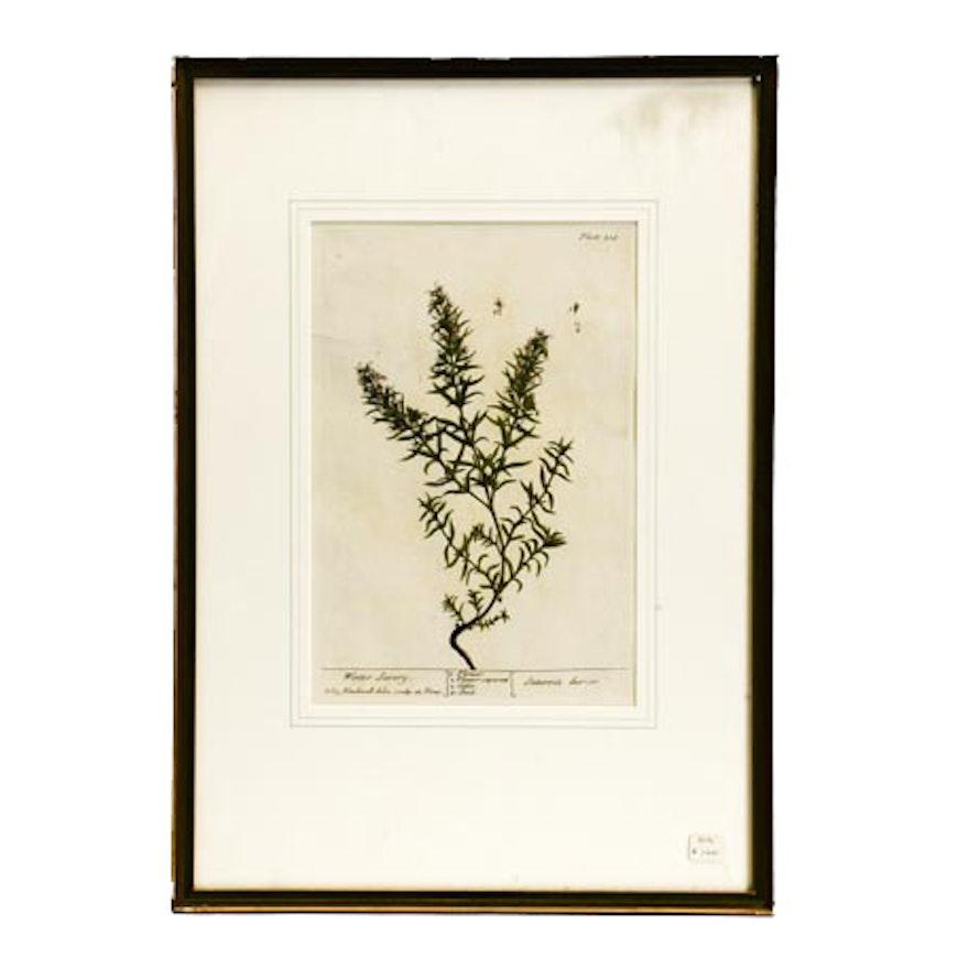 """""""Winter Savory"""" Botanical Engraving"""