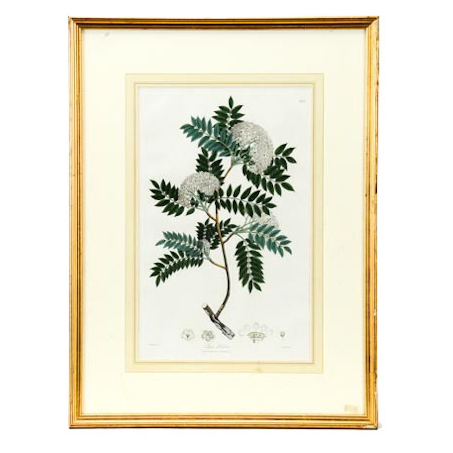 Hand Colored Botanical Lithograph