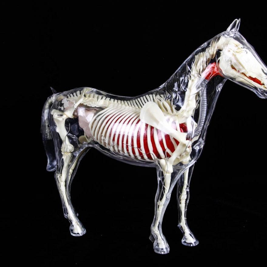 Clear Plastic Anatomy Horse Model : EBTH