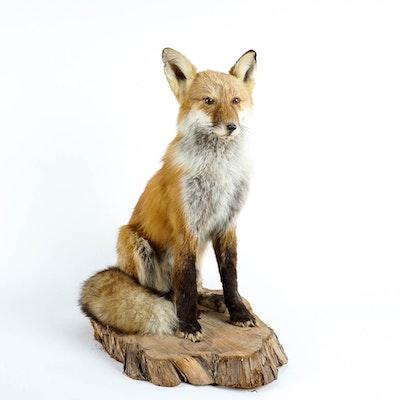Taxidermy Red Fox Mount