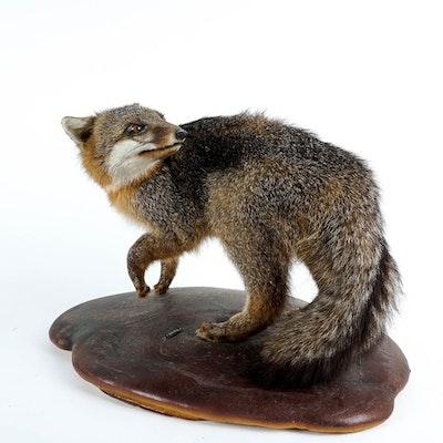 Taxidermy Gray Fox Mount