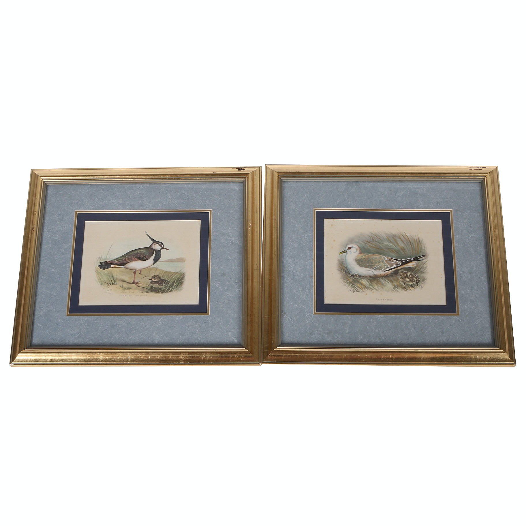 Prints of Seagull and Lapwing by Dilion Medland