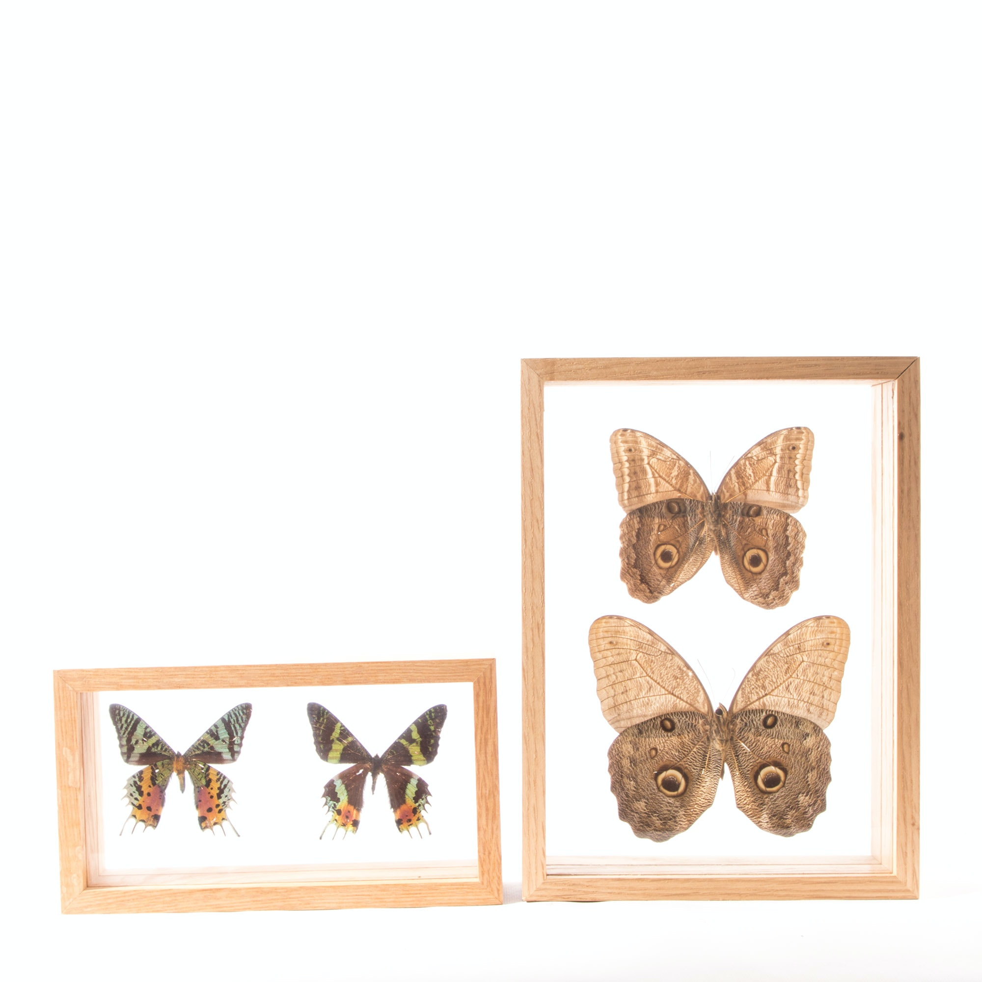 Butterfly and Moth Specimens