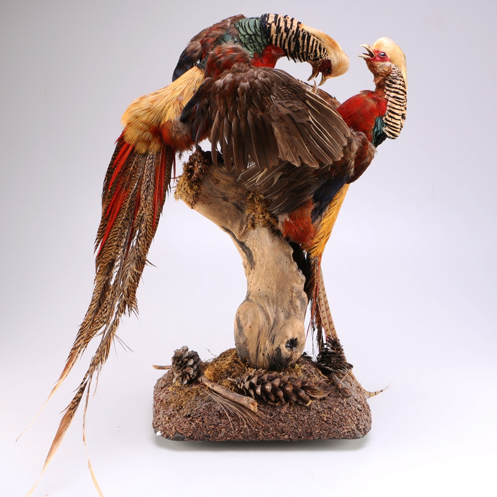 Diorama of Taxidermied Crested Golden Pheasants