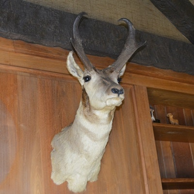 Taxidermy Pronghorn Antelope