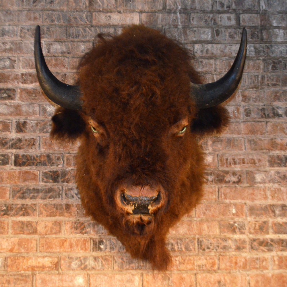 Taxidermy Bison Mount