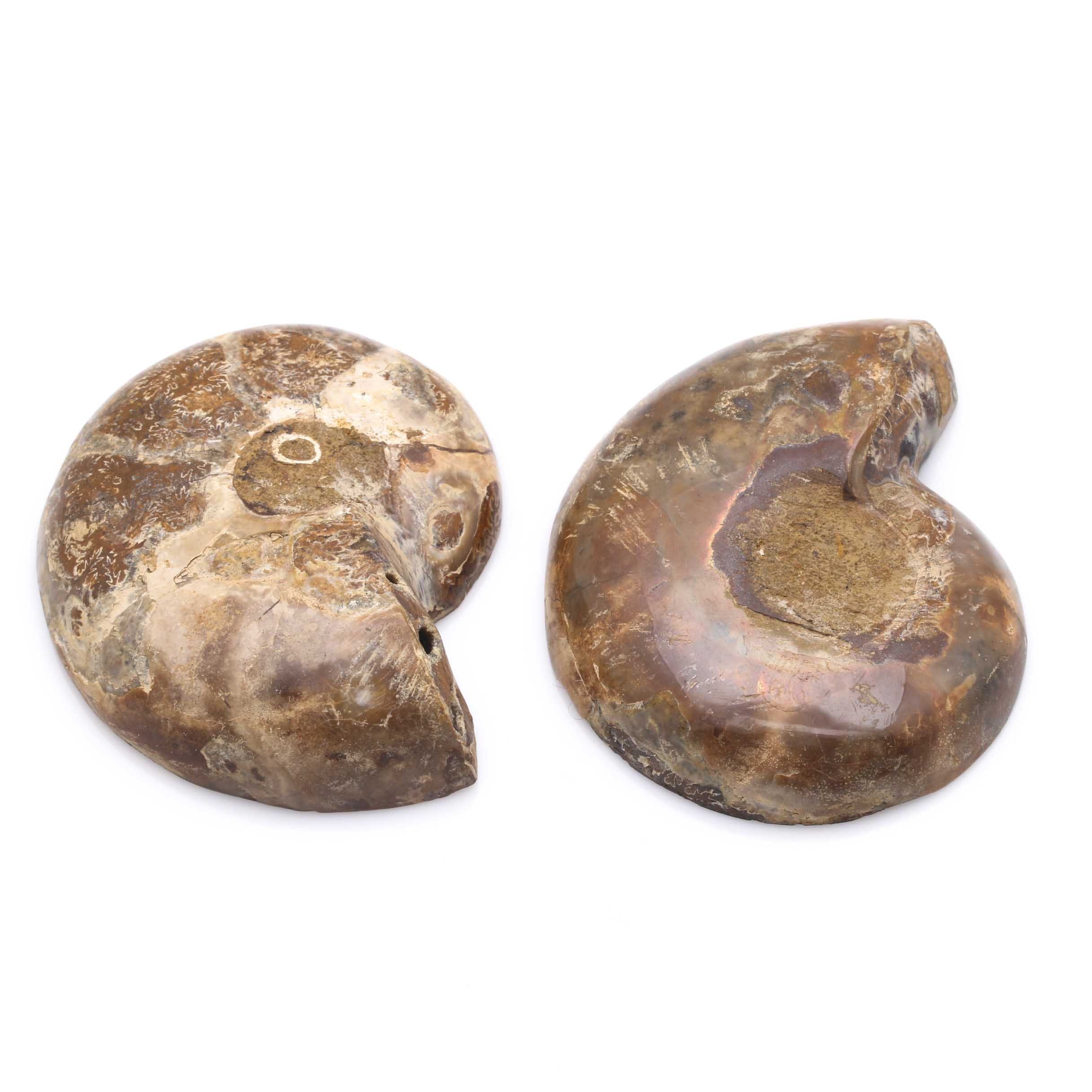 Ammonite Slices