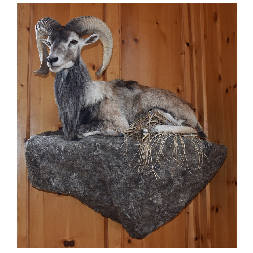 Taxidermy Full Body Mount of a Big Horn Sheep