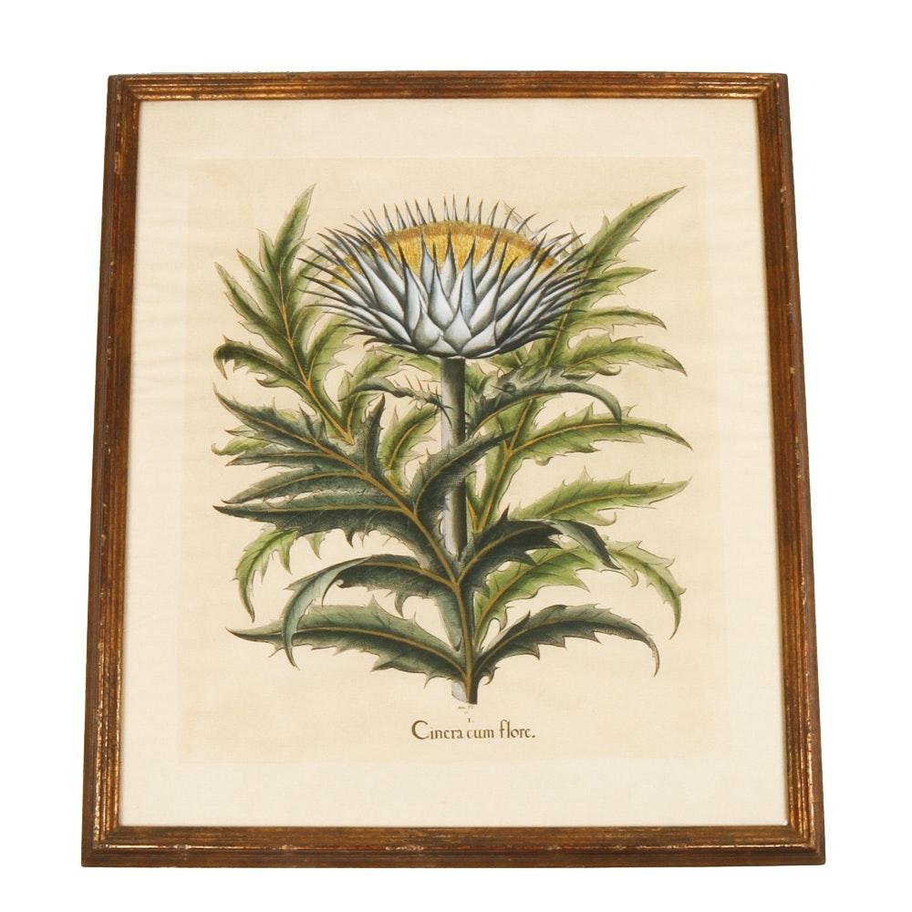 "Vintage Botanical Print ""Cinera cum flore"" After Basilius Besler"