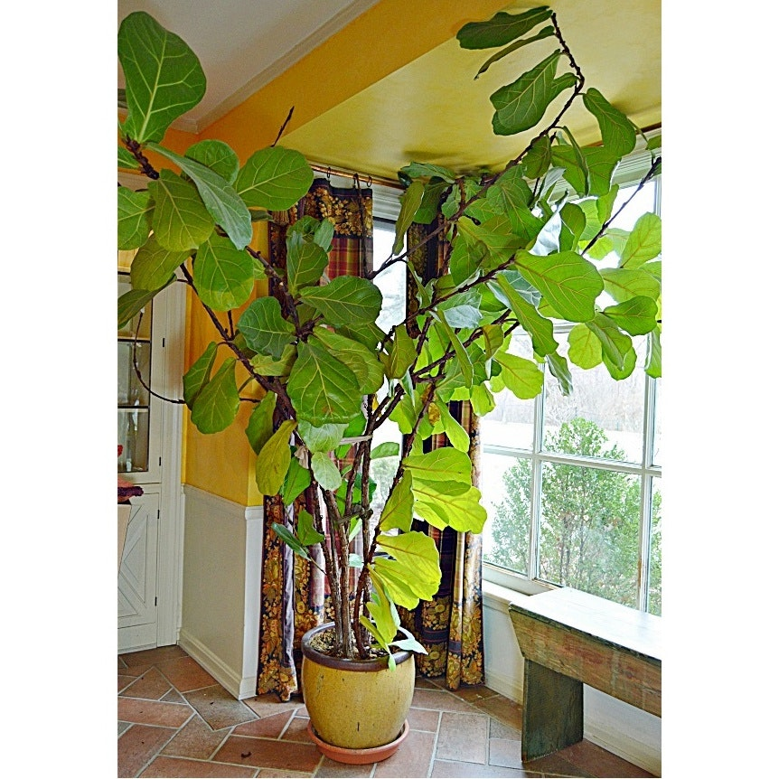 8u0027 Tall Live Fiddle Leaf Fig Tree ...