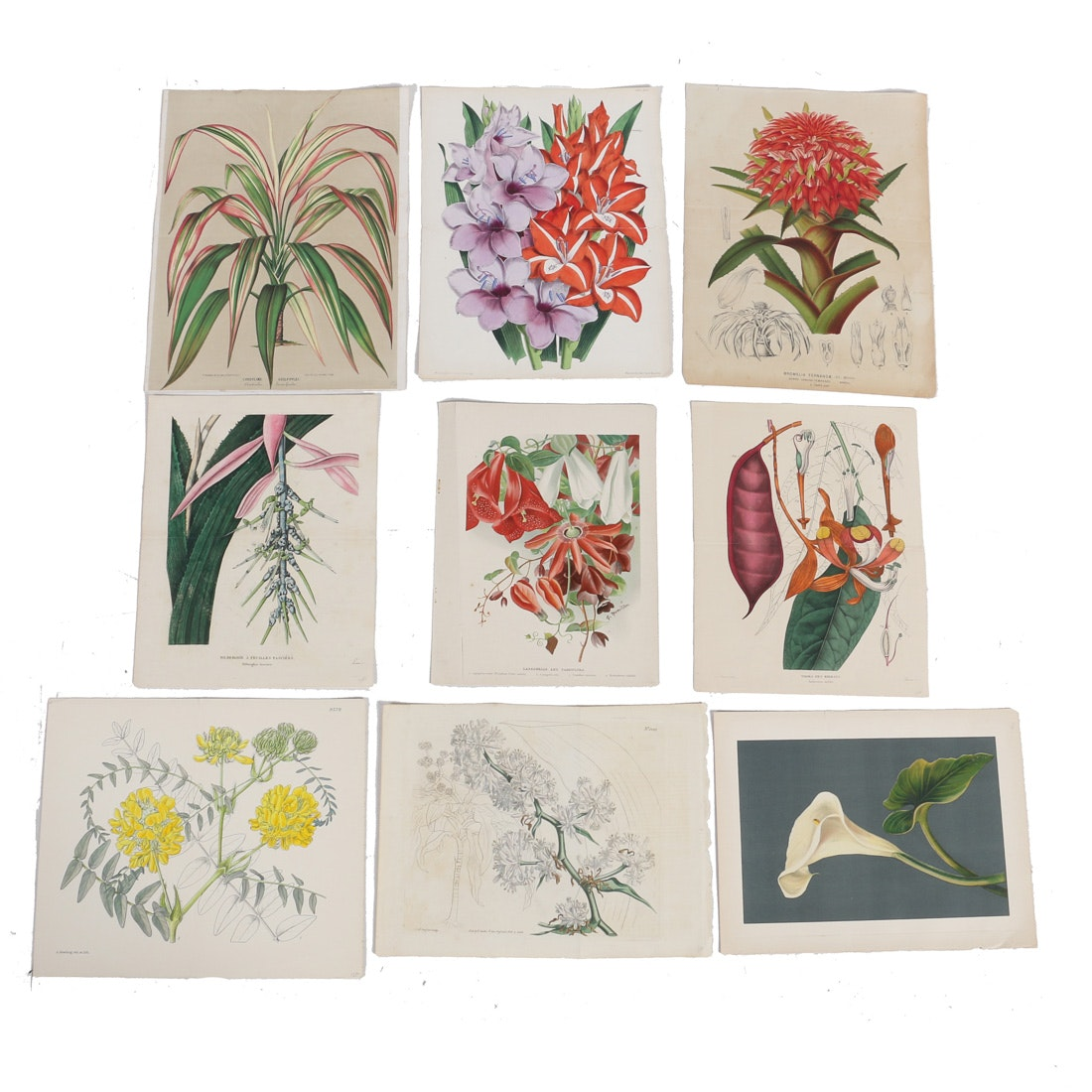 Collection of Hand-Colored Botanical Lithographs