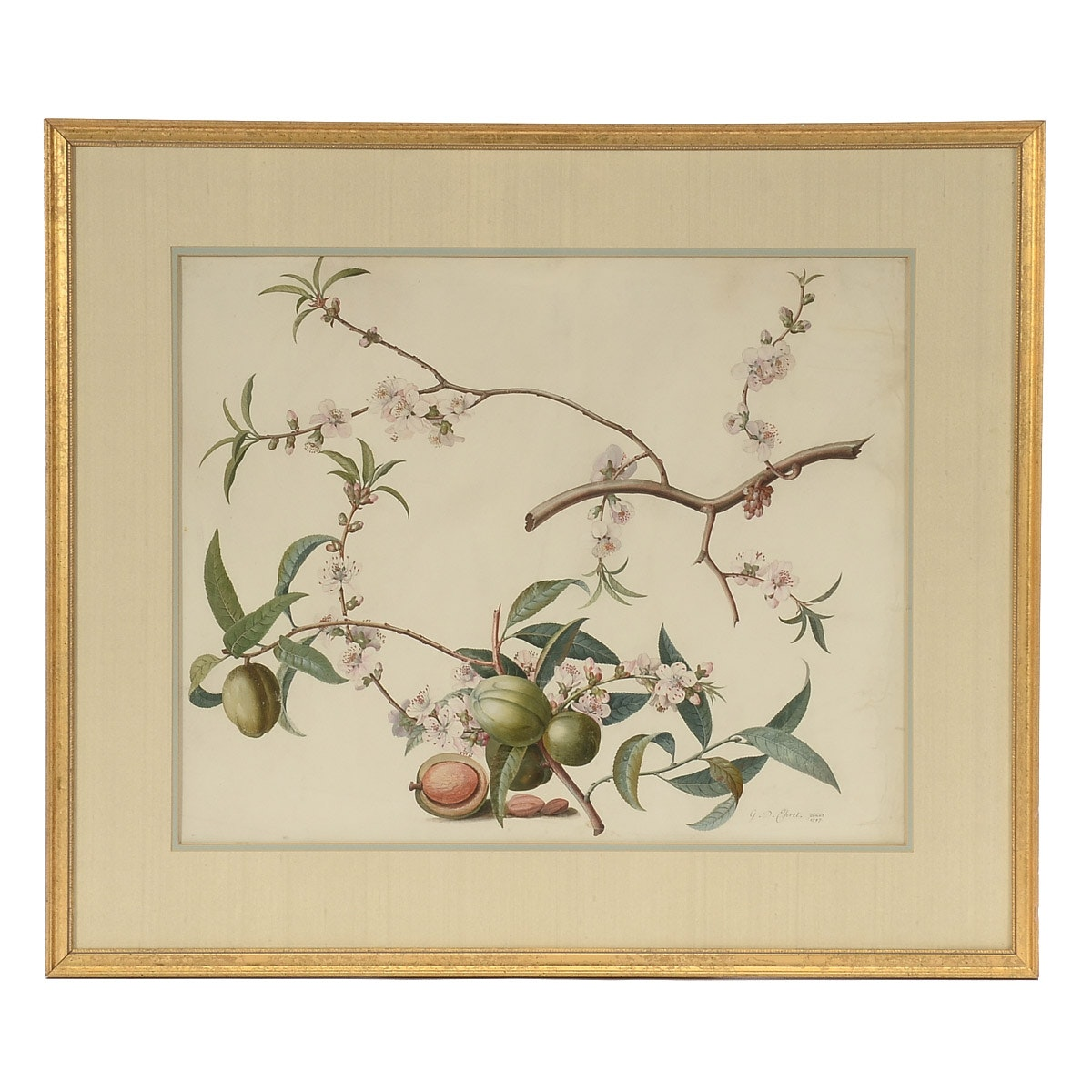 Georg Dionysius Ehret Gouache Botanical Illustration on Vellum