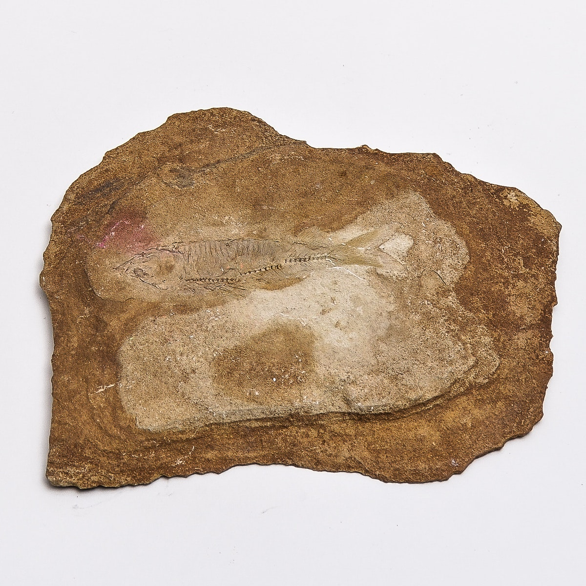 Fossilized Fish Specimen
