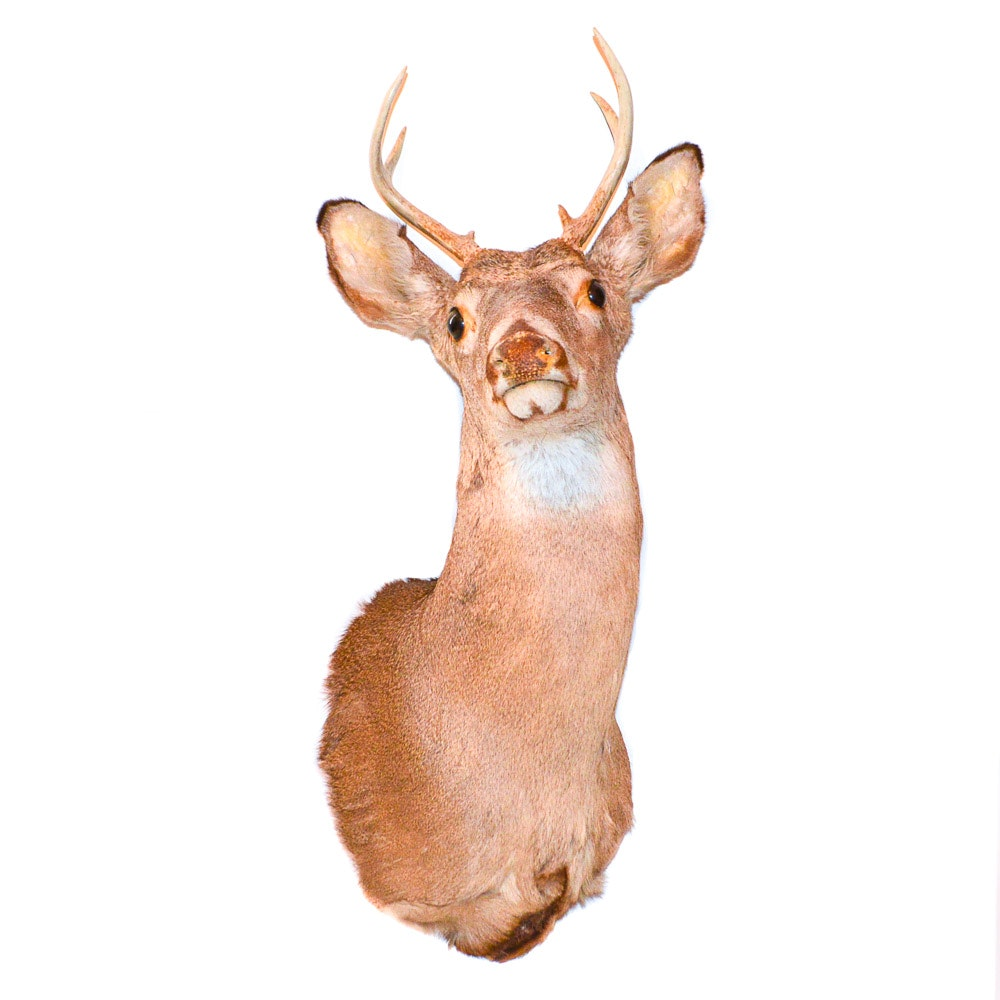Taxidermy White-Tailed Deer Eight Point Shoulder Mount