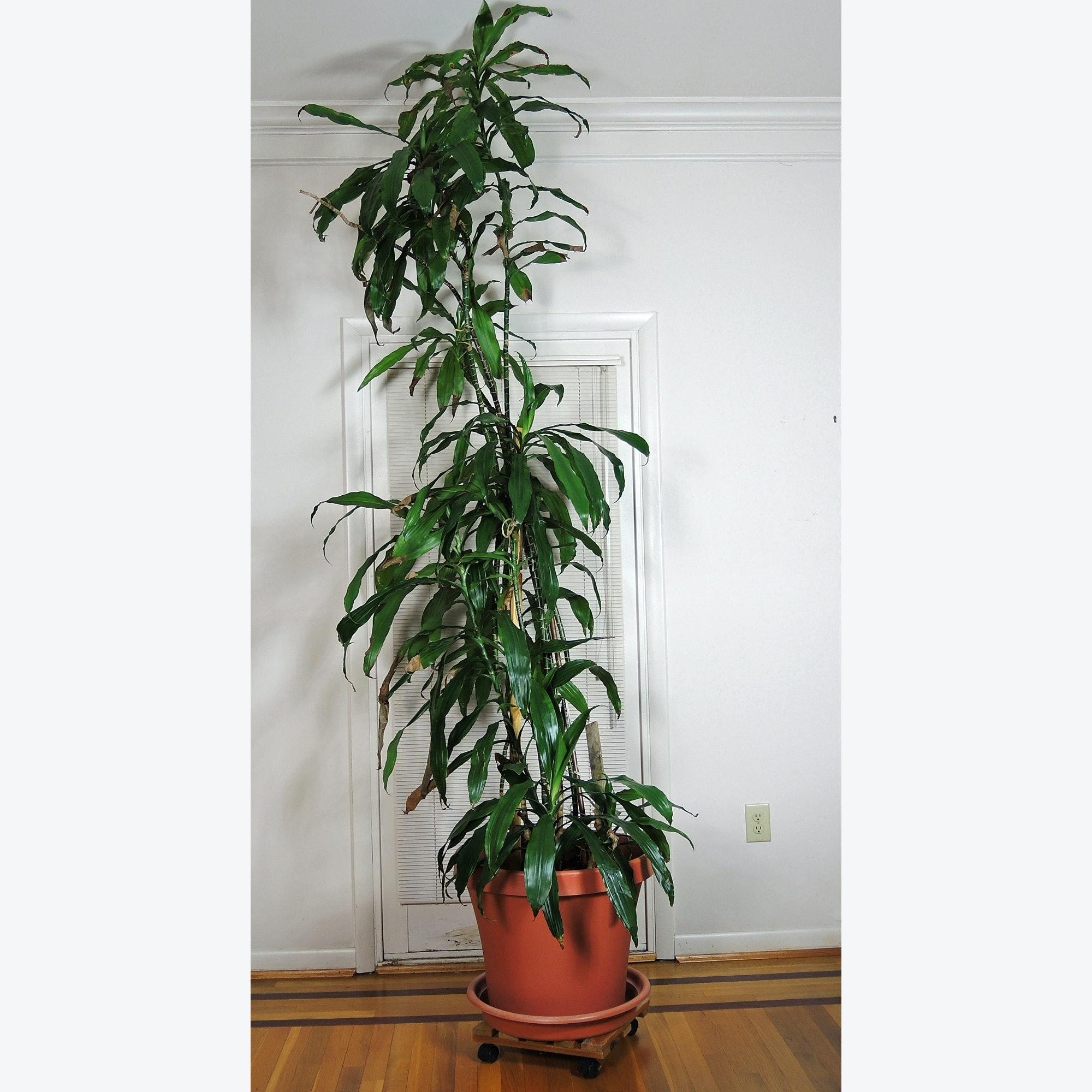 Tall Live Dracaena House Plant