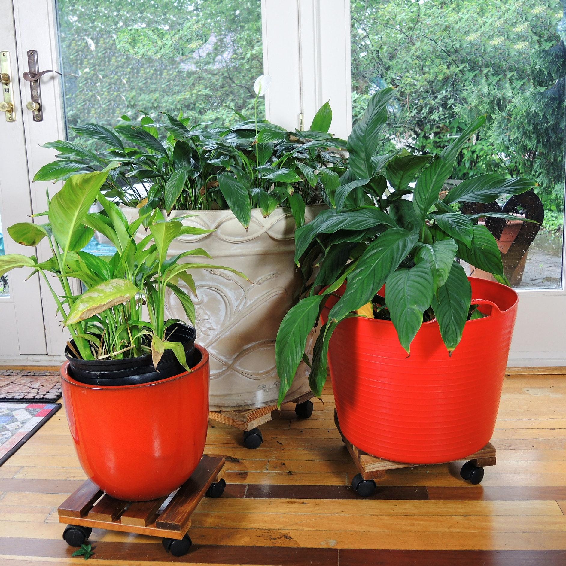 Three Live Peace Lily Plants