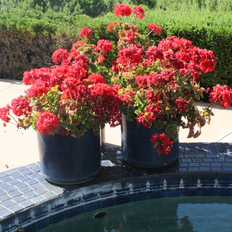 Pair of Blue Ceramic Flower Pots with Red Flowers