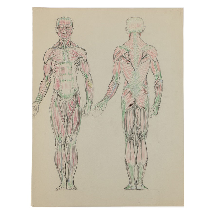 Emily B Waite Colored Graphite Drawing On Paper Human Muscular
