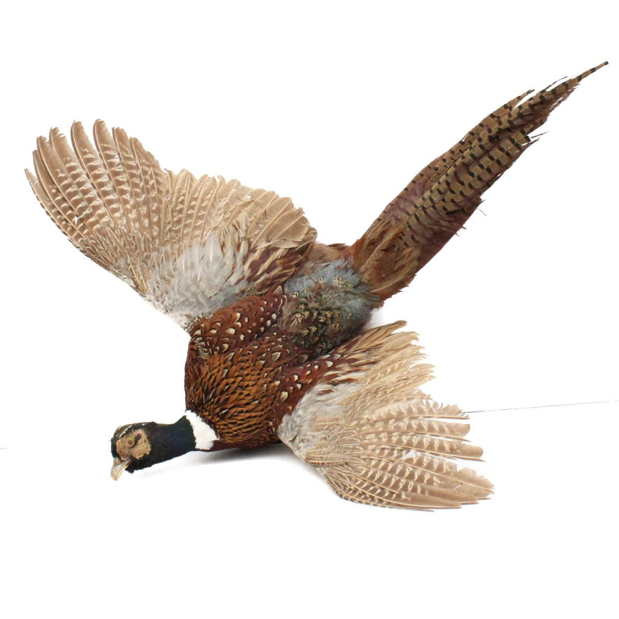 Male Pheasant Taxidermy Wall Mount