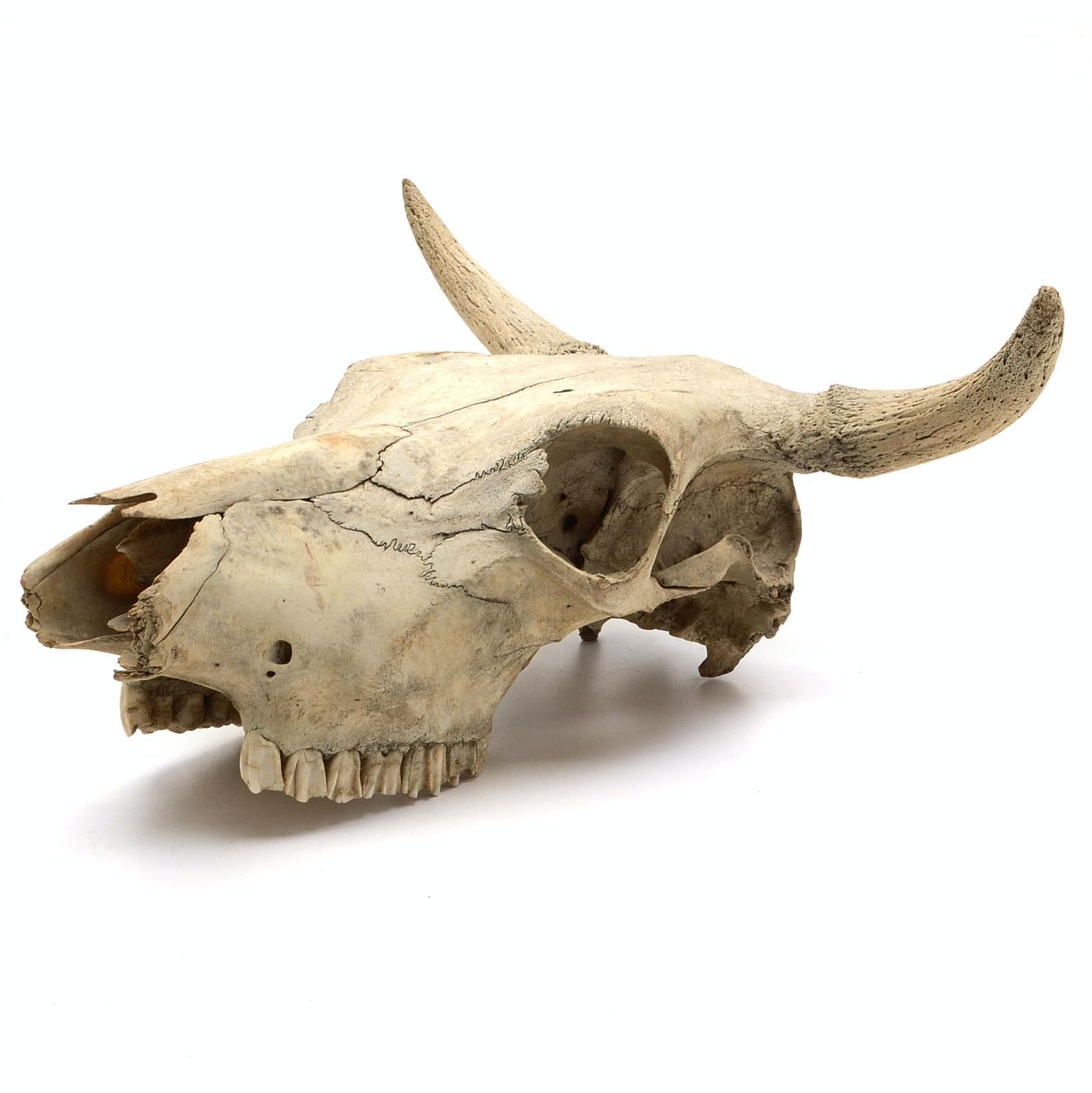 Bovine Skull With Horns