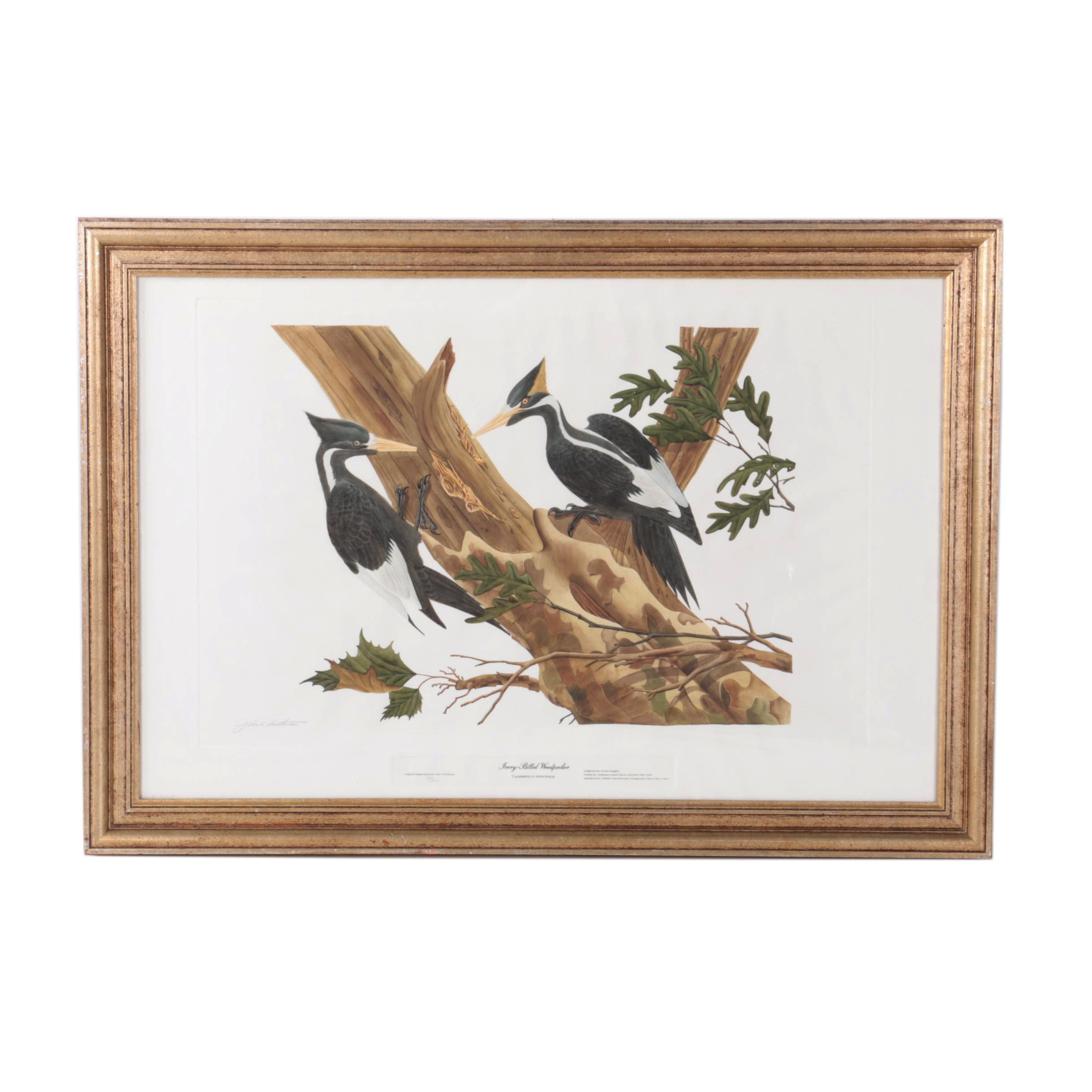 "Norma Morgan Limited Edition Hand Colored Aquatint on Paper After John A. Ruthven's ""Ivory-Billed Woodpecker"""