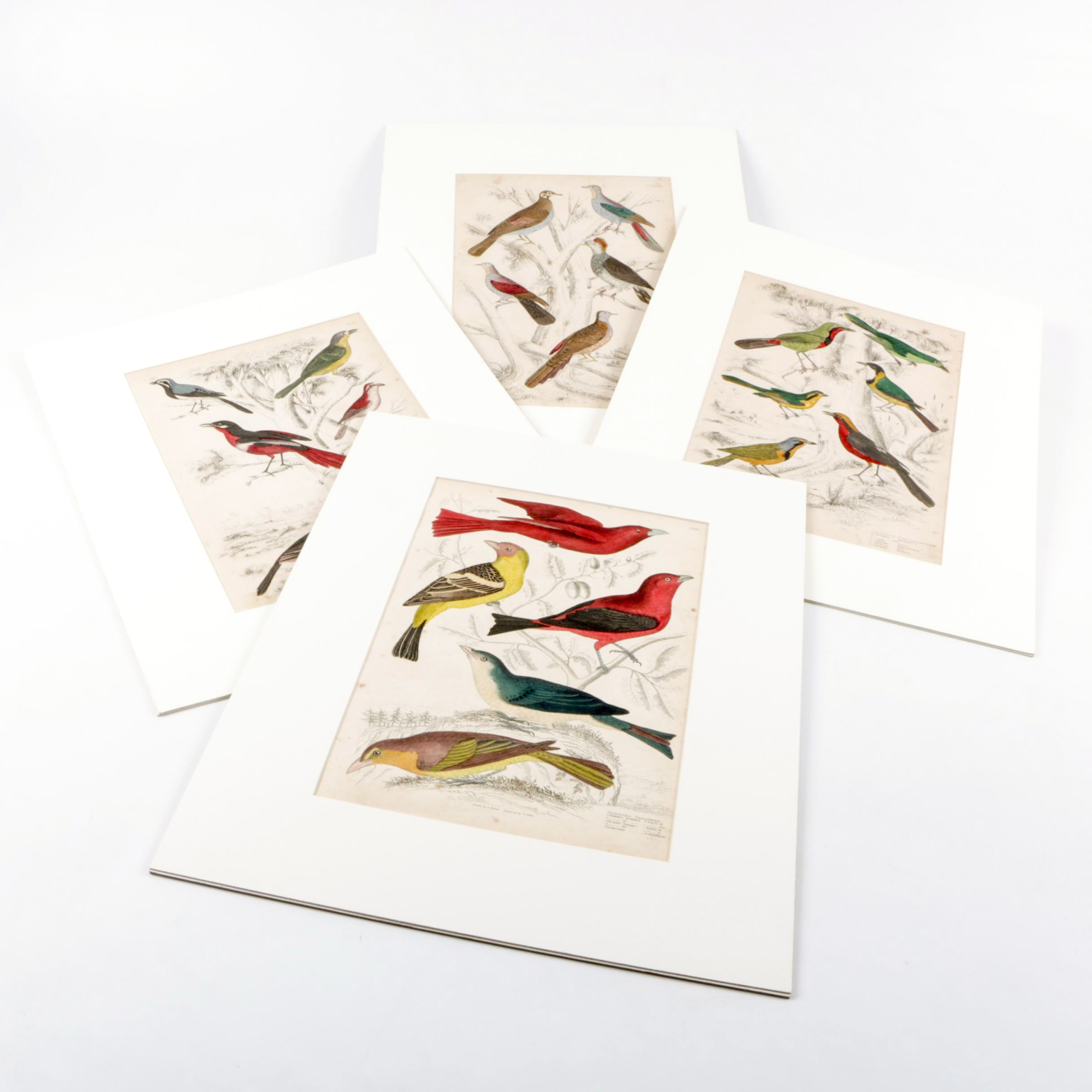 S. Milne Hand Colored Engravings of Birds