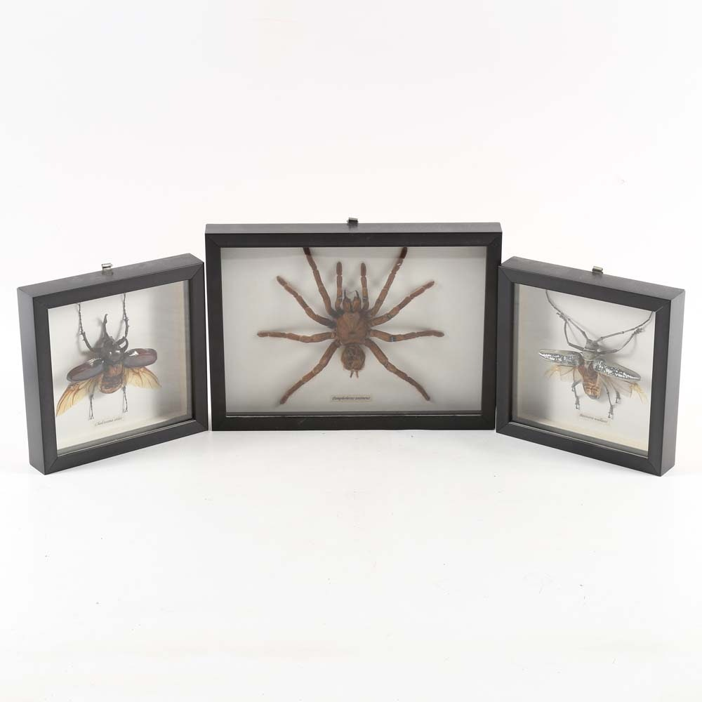 Framed Insect Specimens