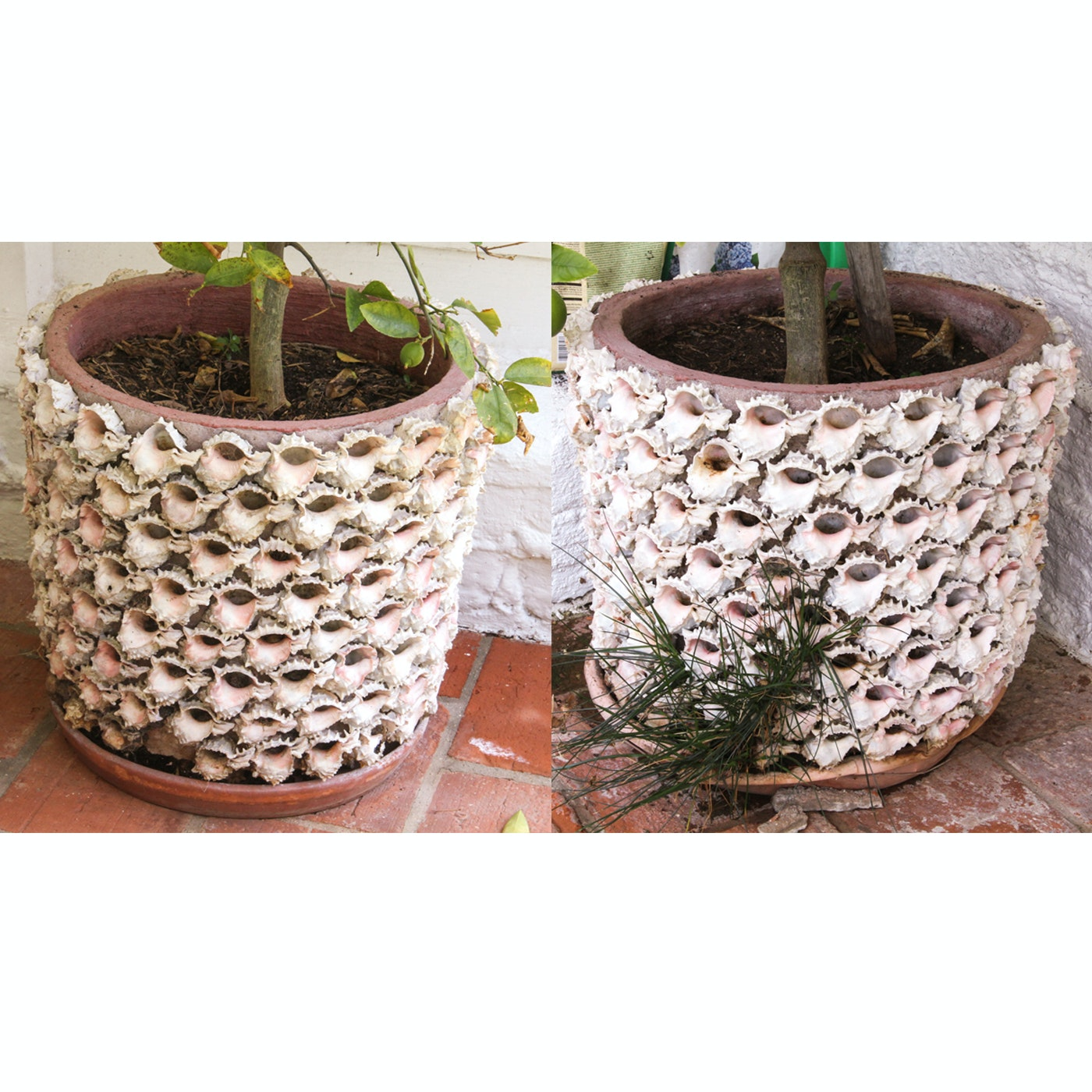 Pair of Conch Shell Encrusted Planters with Citrus Trees