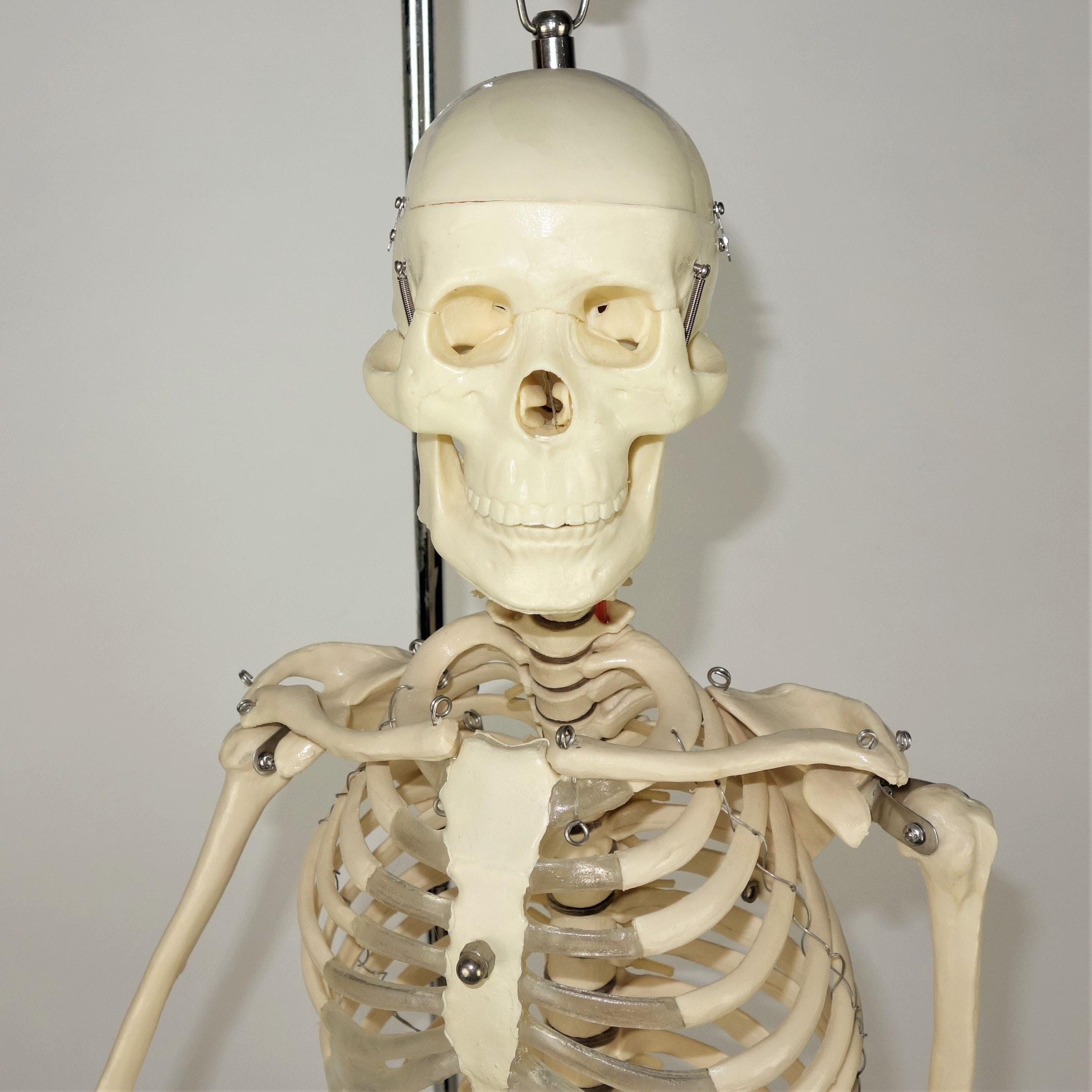 Human Skeleton Model on Stand