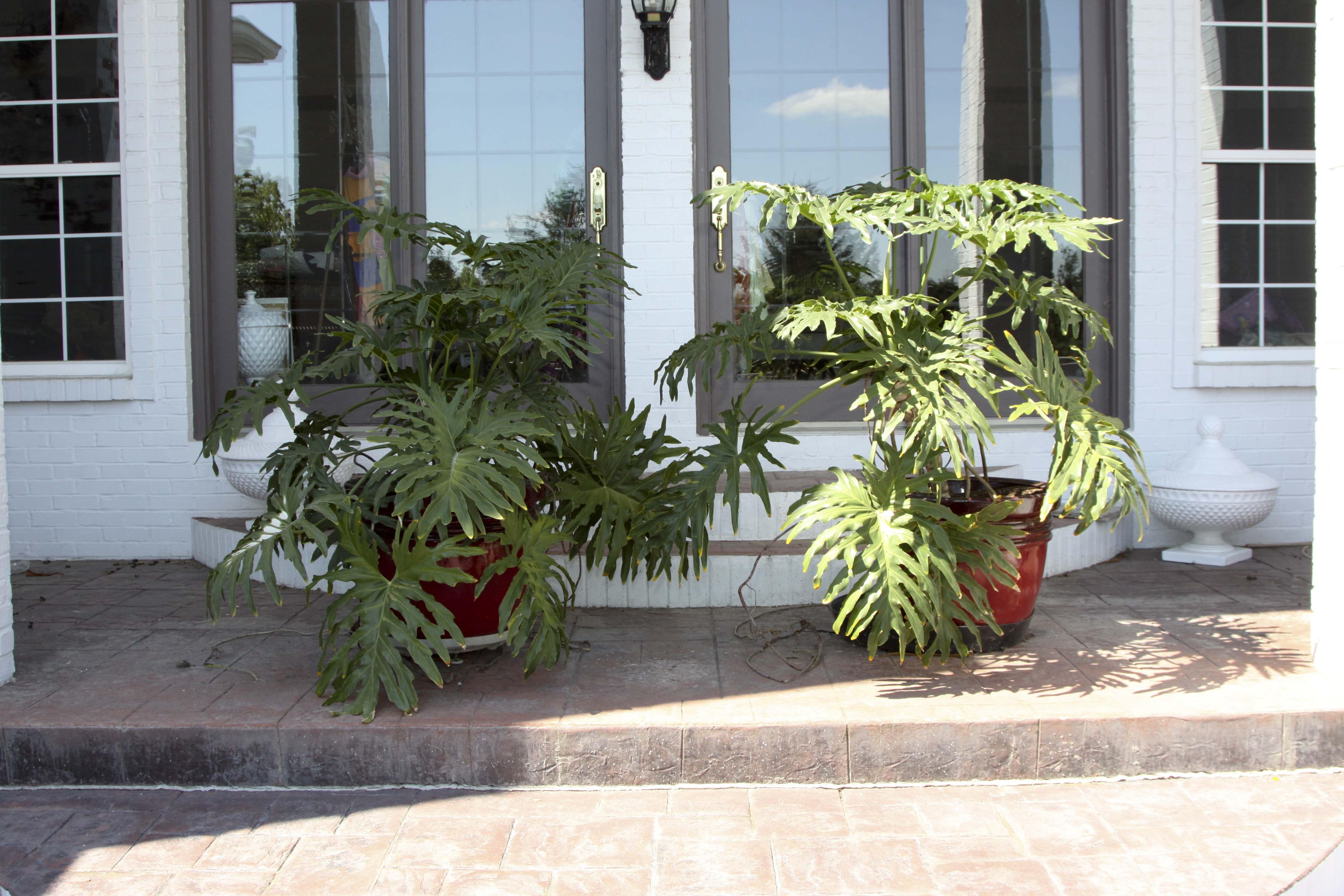 A Pair of Split-Leaf Philadendron Plants