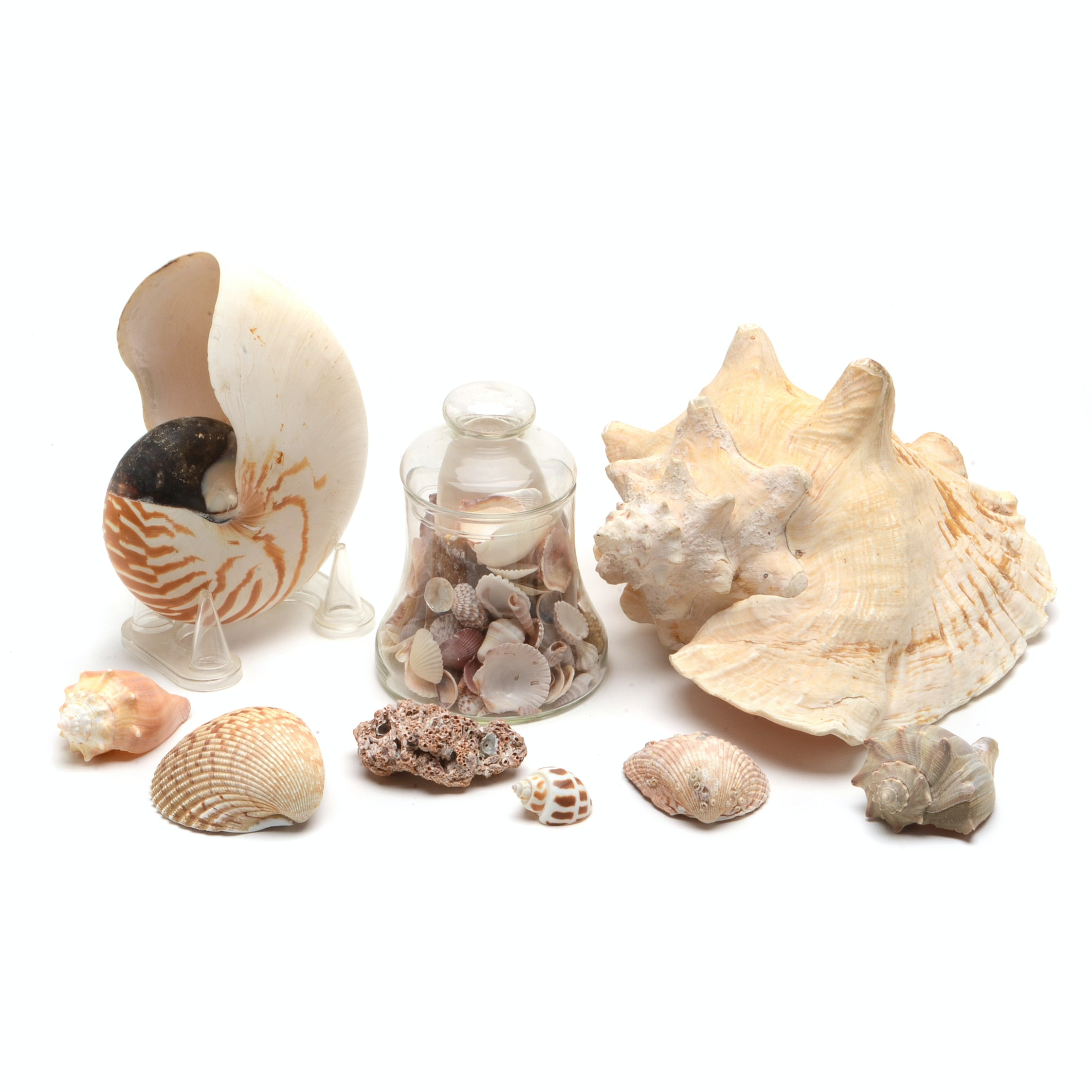 Assorted Seashell Collection Including Conch and Nautilus Shells