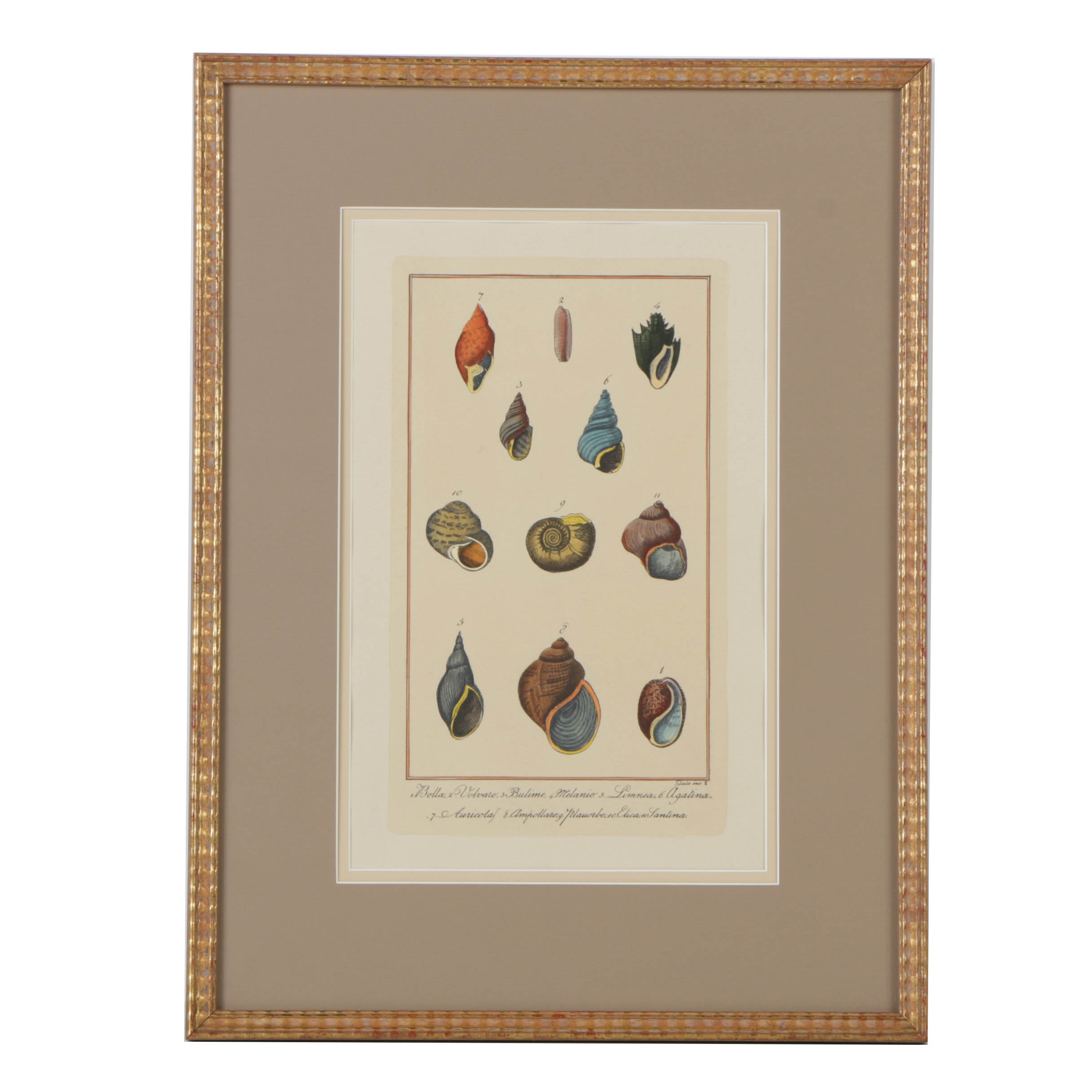 Hand Colored Engraving on Paper of Shells