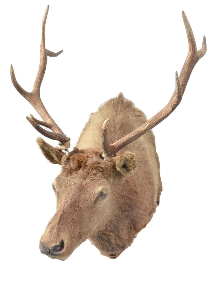Taxidermy Elk