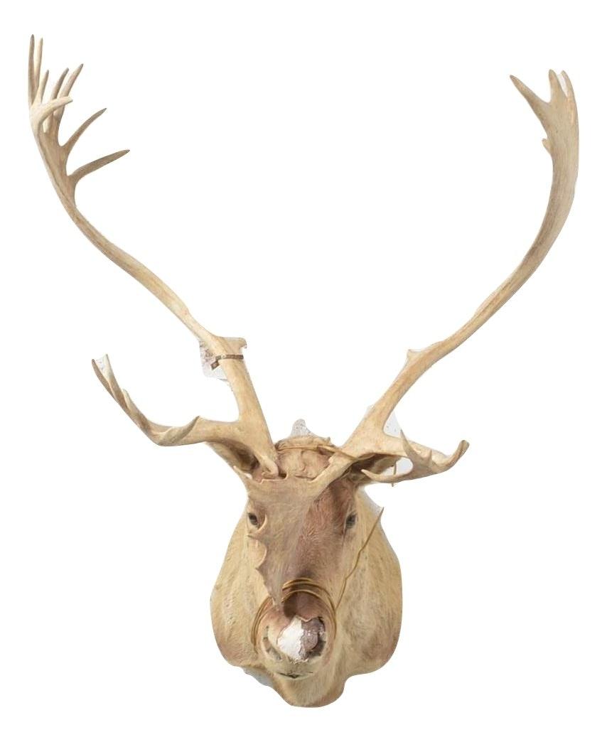 Taxidermy Caribou Bull Head with Rack
