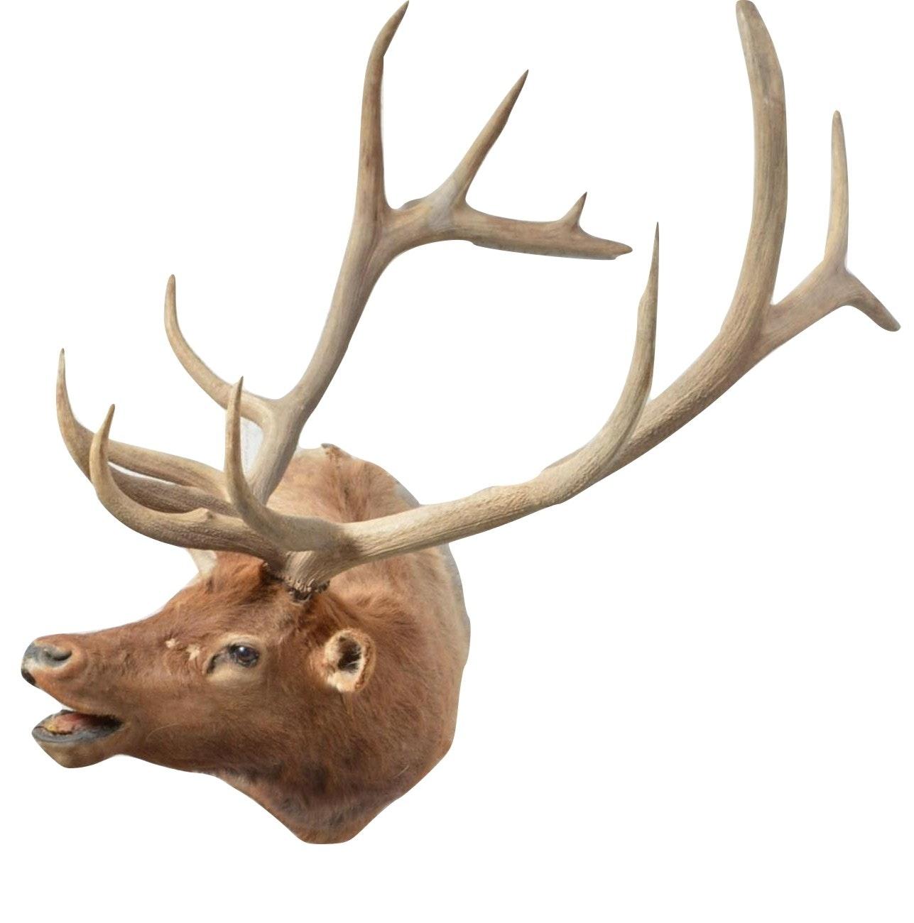 1985 Taxidermy Elk Head