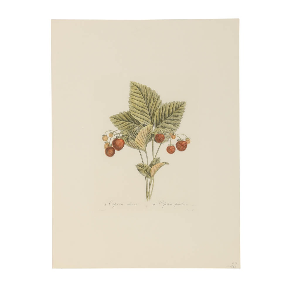 "Limited Edition Hand-Colored Engraving ""Capron abricot/Capron framboise"""