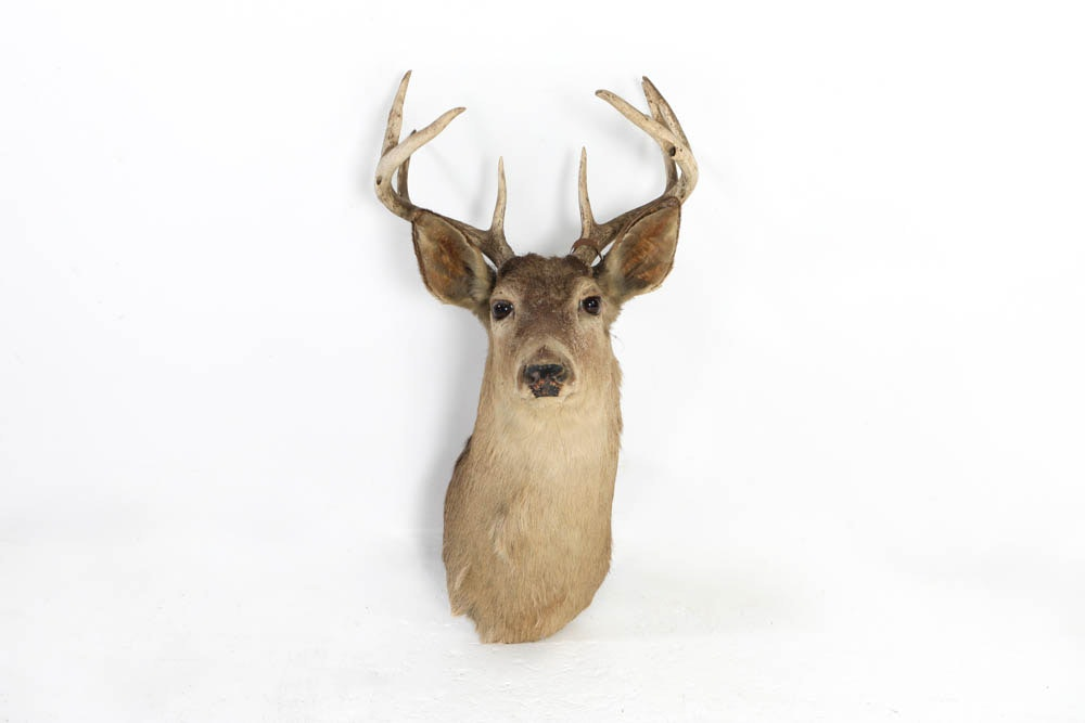 Taxidermy White Tail Deer with Antlers