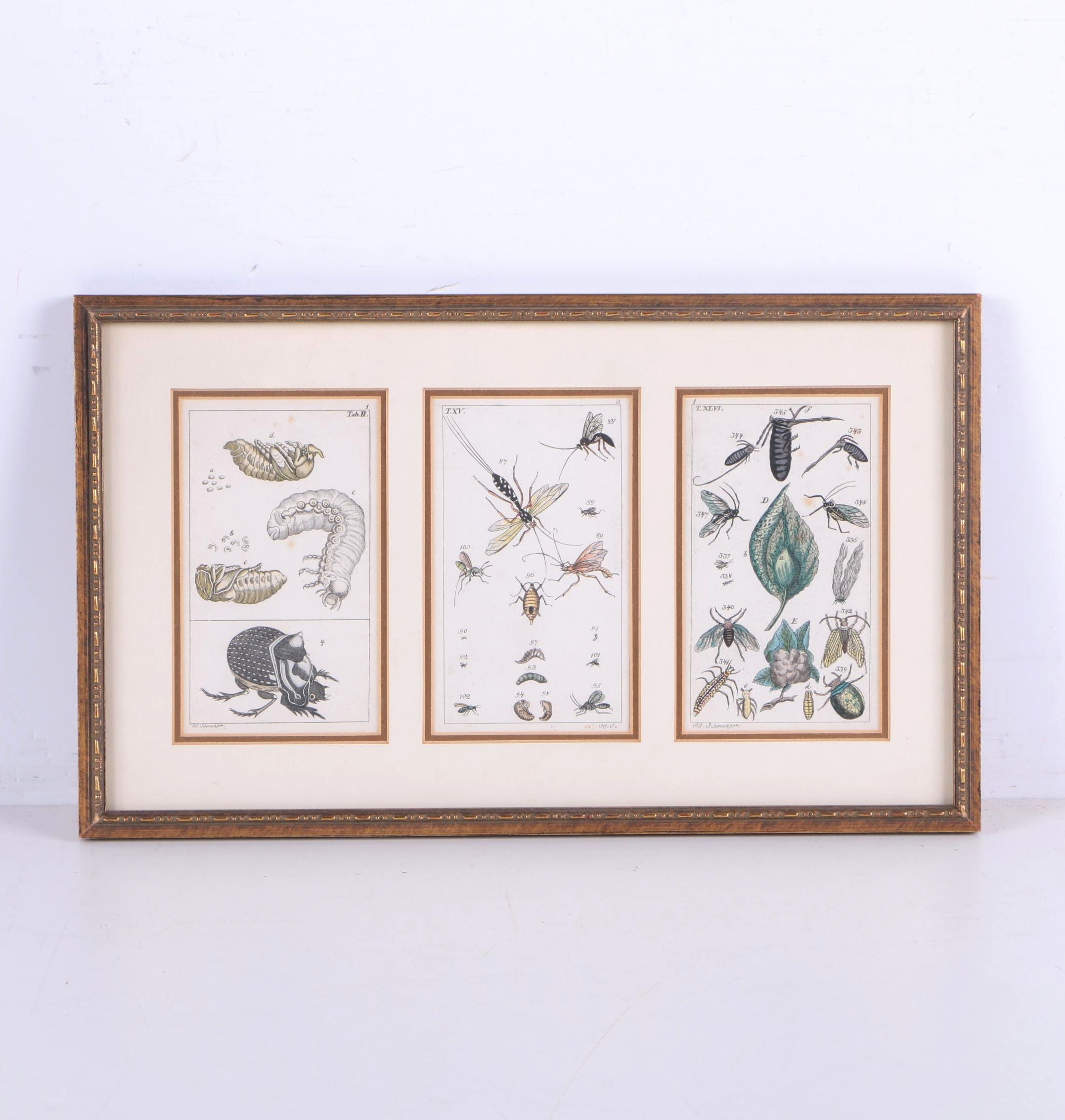 Hand Colored Engravings on Paper After J.J. Schmuzer of Insects