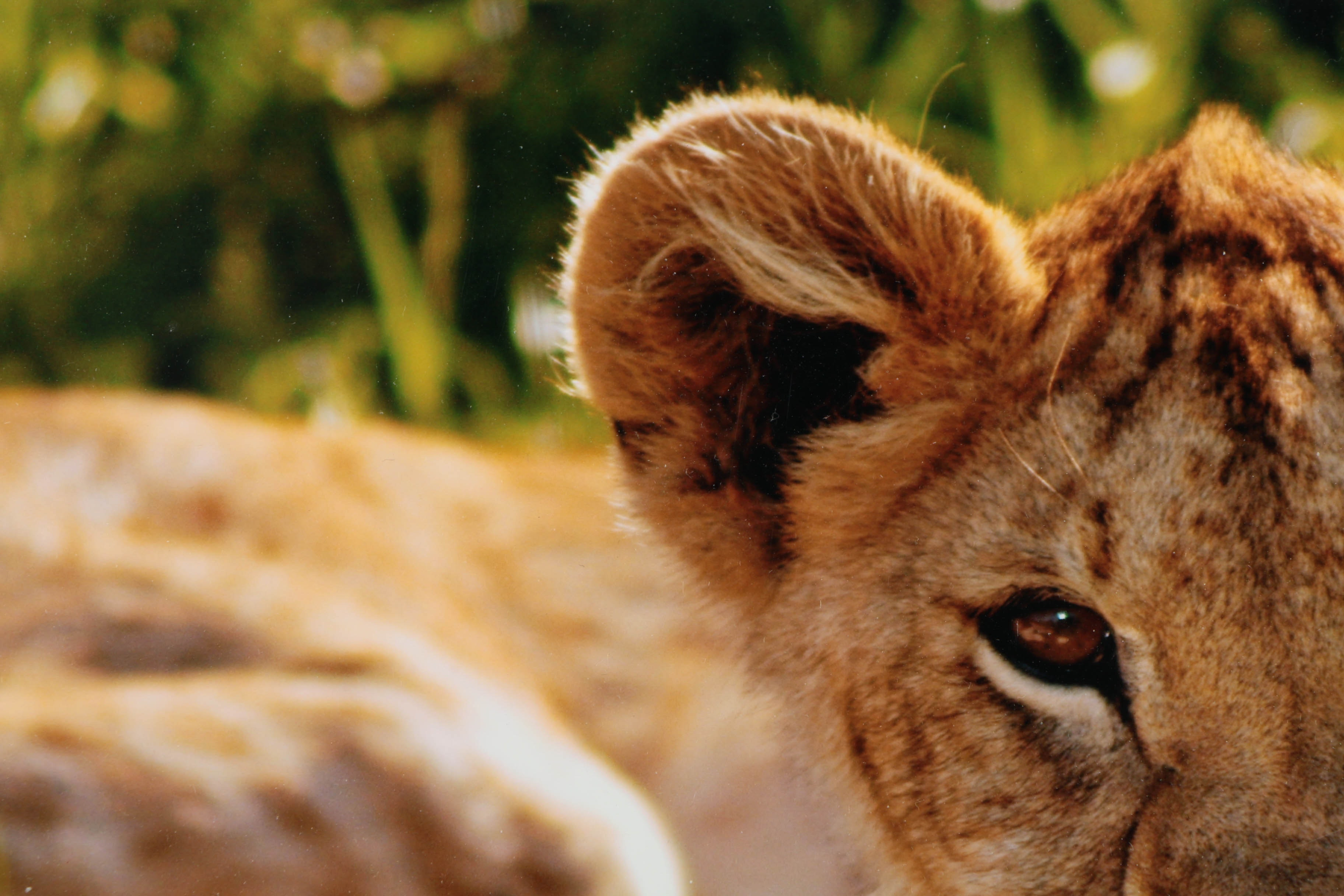 Ed Behrens Digital Photograph On Paper Quot Lion Cub Quot Ebth