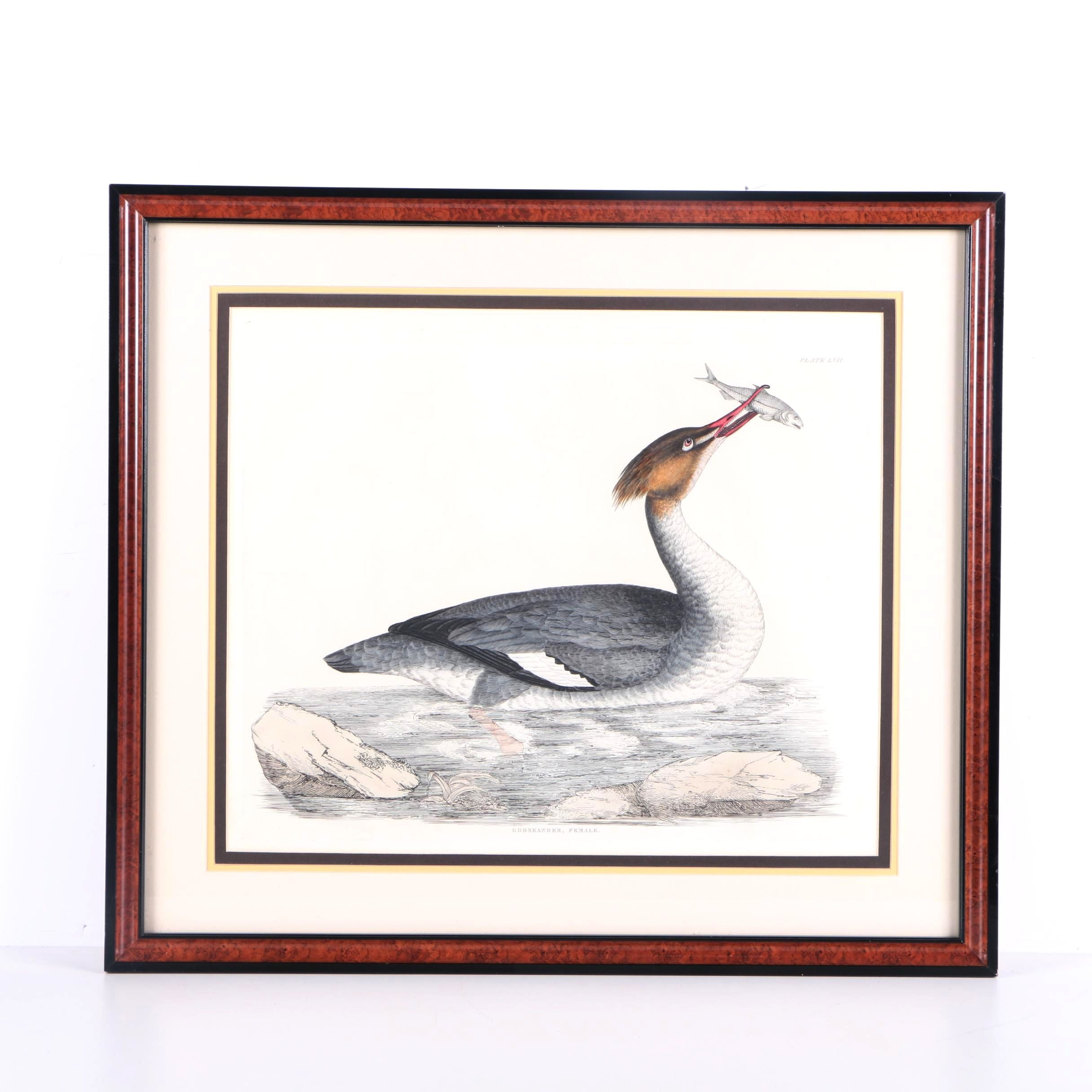 "Prideaux John Selby Hand-colored Engraving ""Gooseander, Female"""
