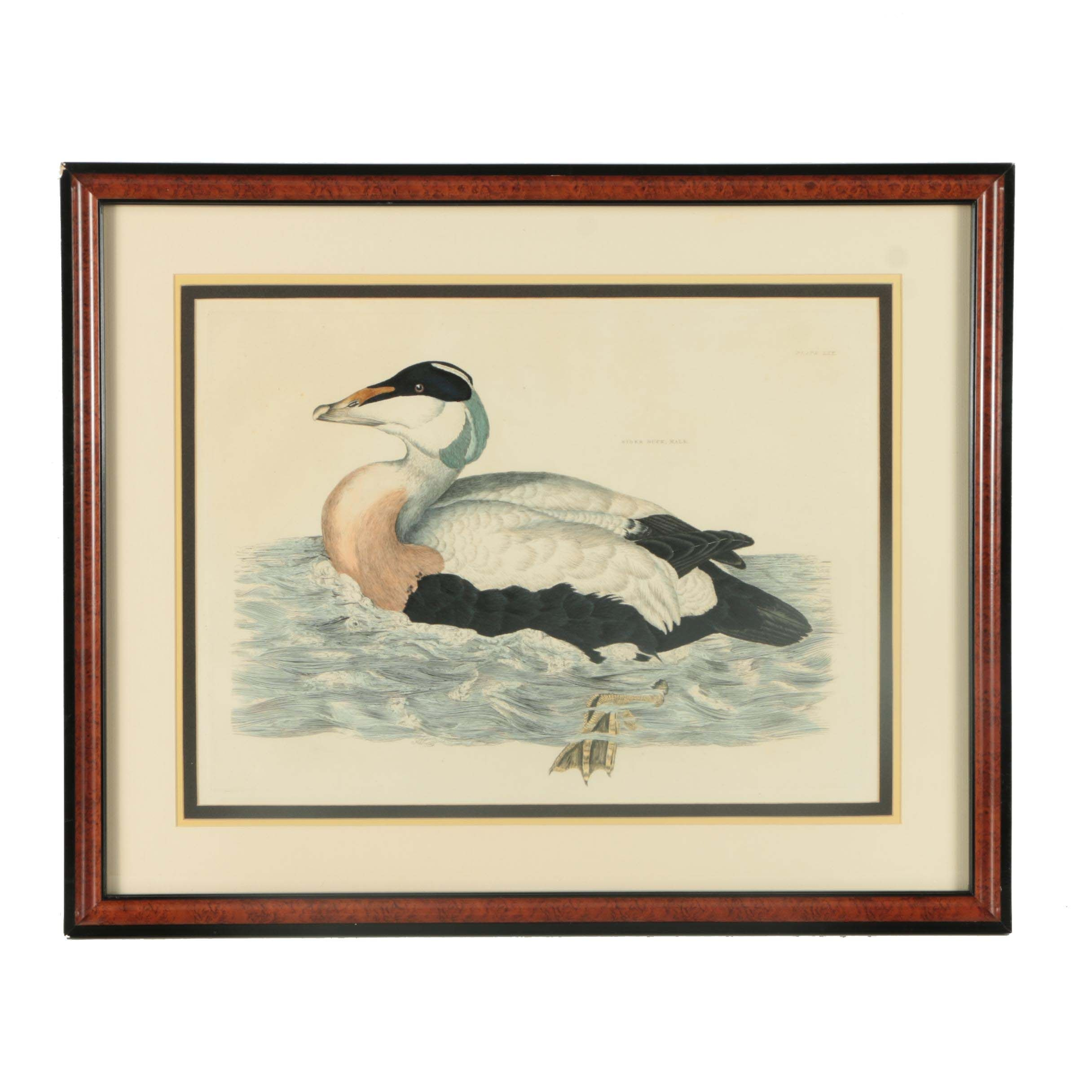"Prideaux John Selby Hand-colored Drypoint Engraving on Paper ""Eider Duck, Male"""