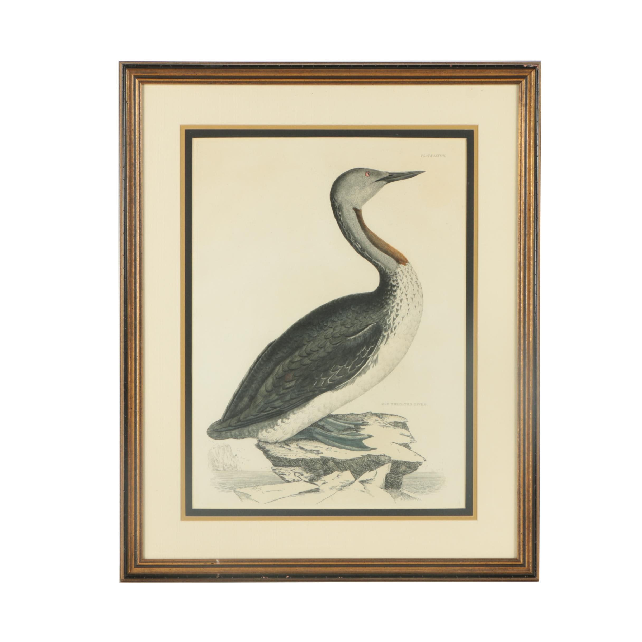 "Prideaux John Selby Hand-colored Engraving ""Red Throated Diver"""
