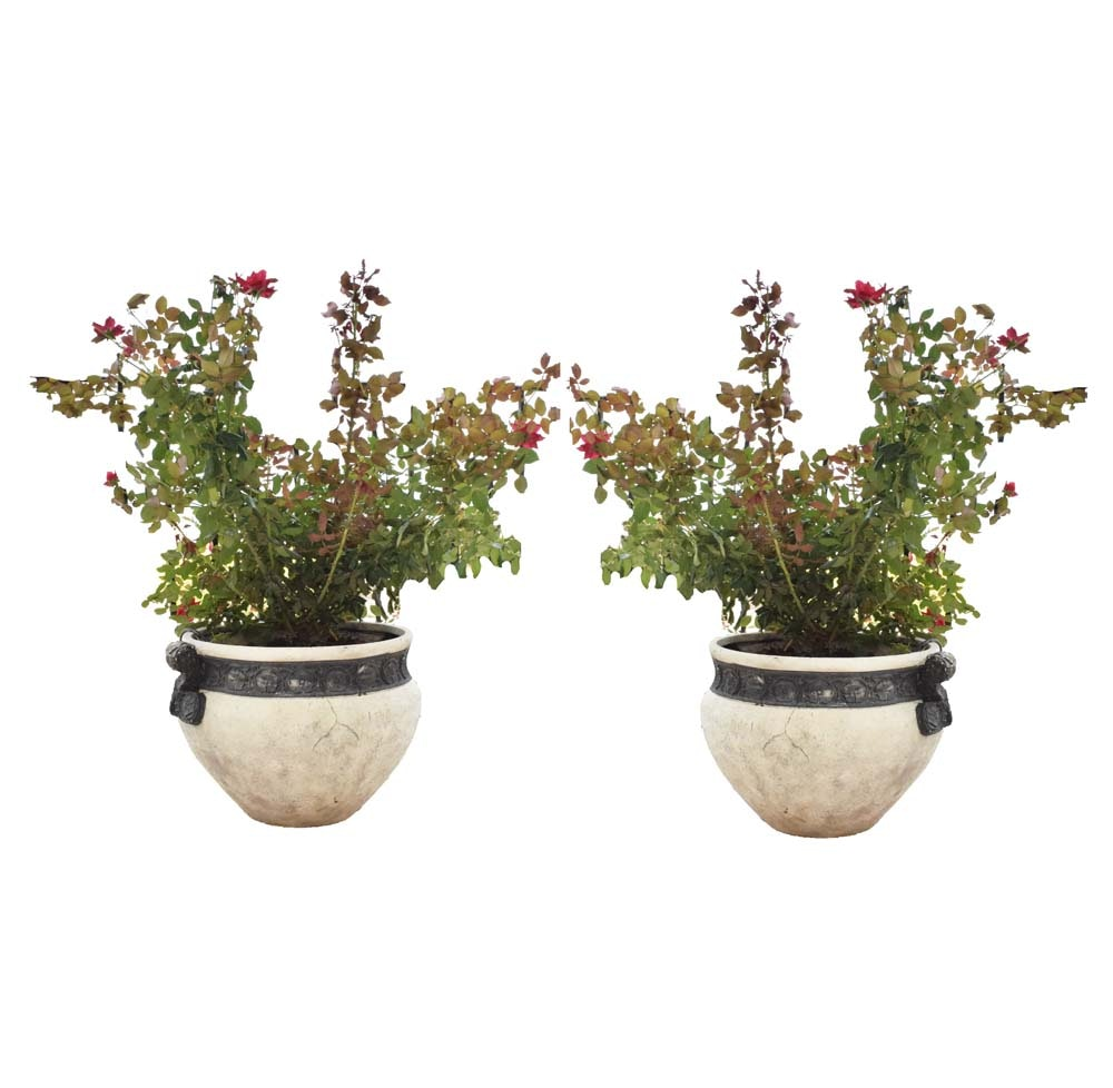 Potted Knock Out Rose Bushes in Large Neoclassical Planters