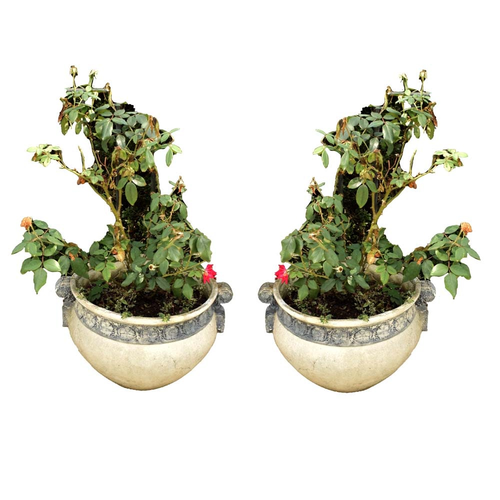 Potted Knock Out Rose Bushes in Neoclassical Planters