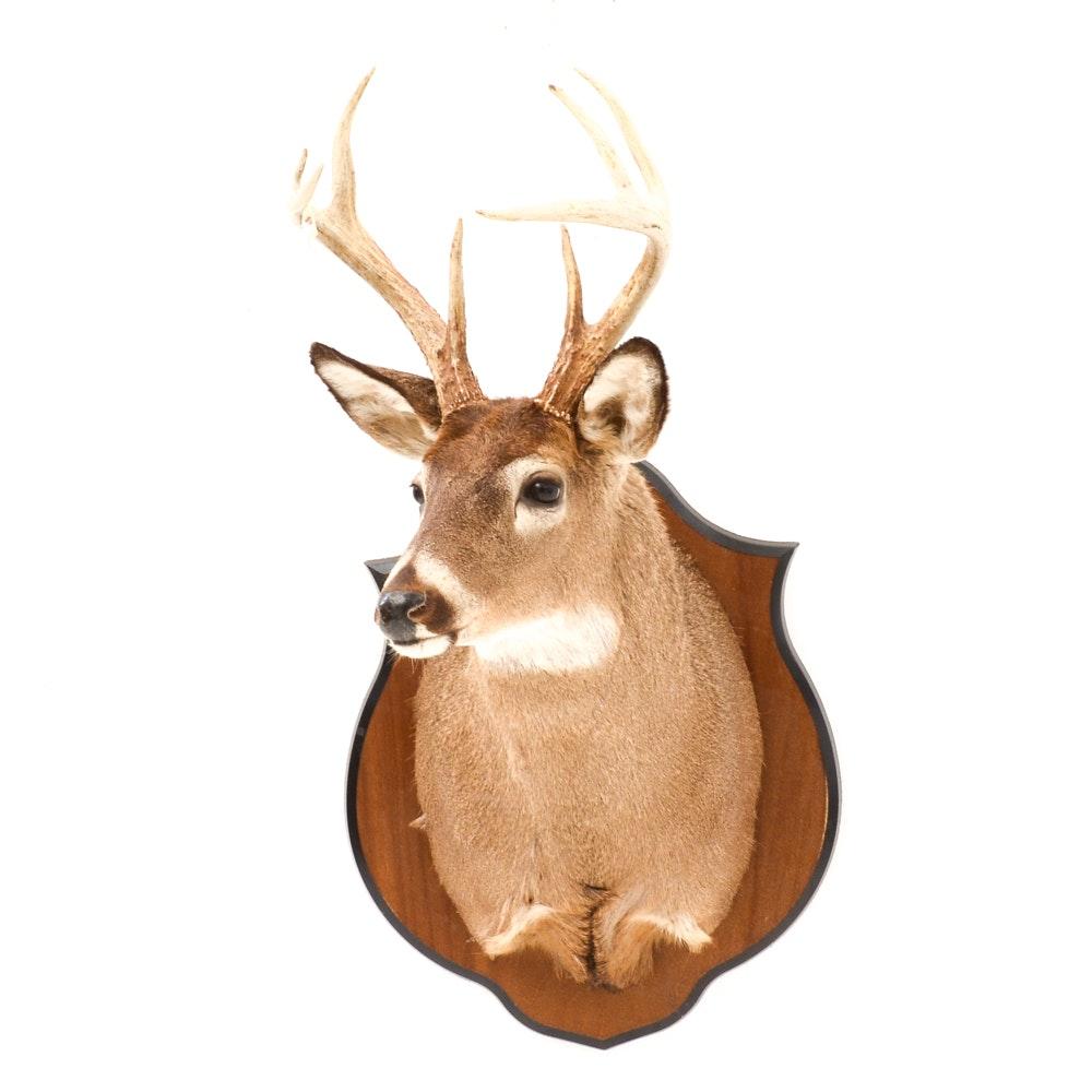 Mounted Taxidermy Buck's Head