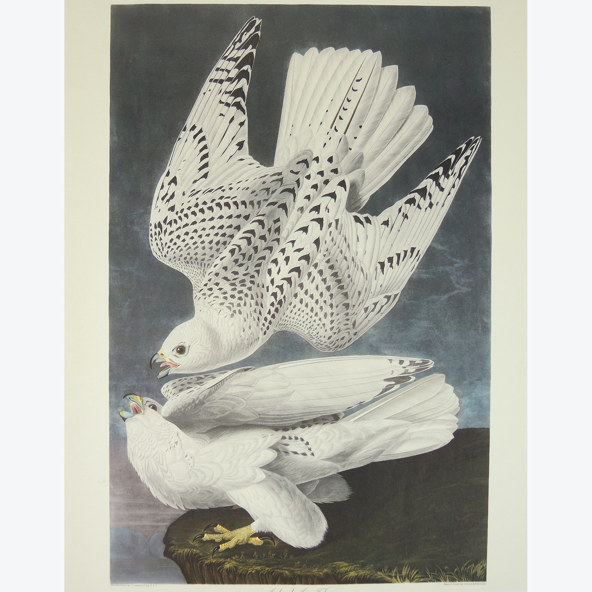 "Print After John J. Audubon and R. Havell ""Iceland or Jer Falcon"""