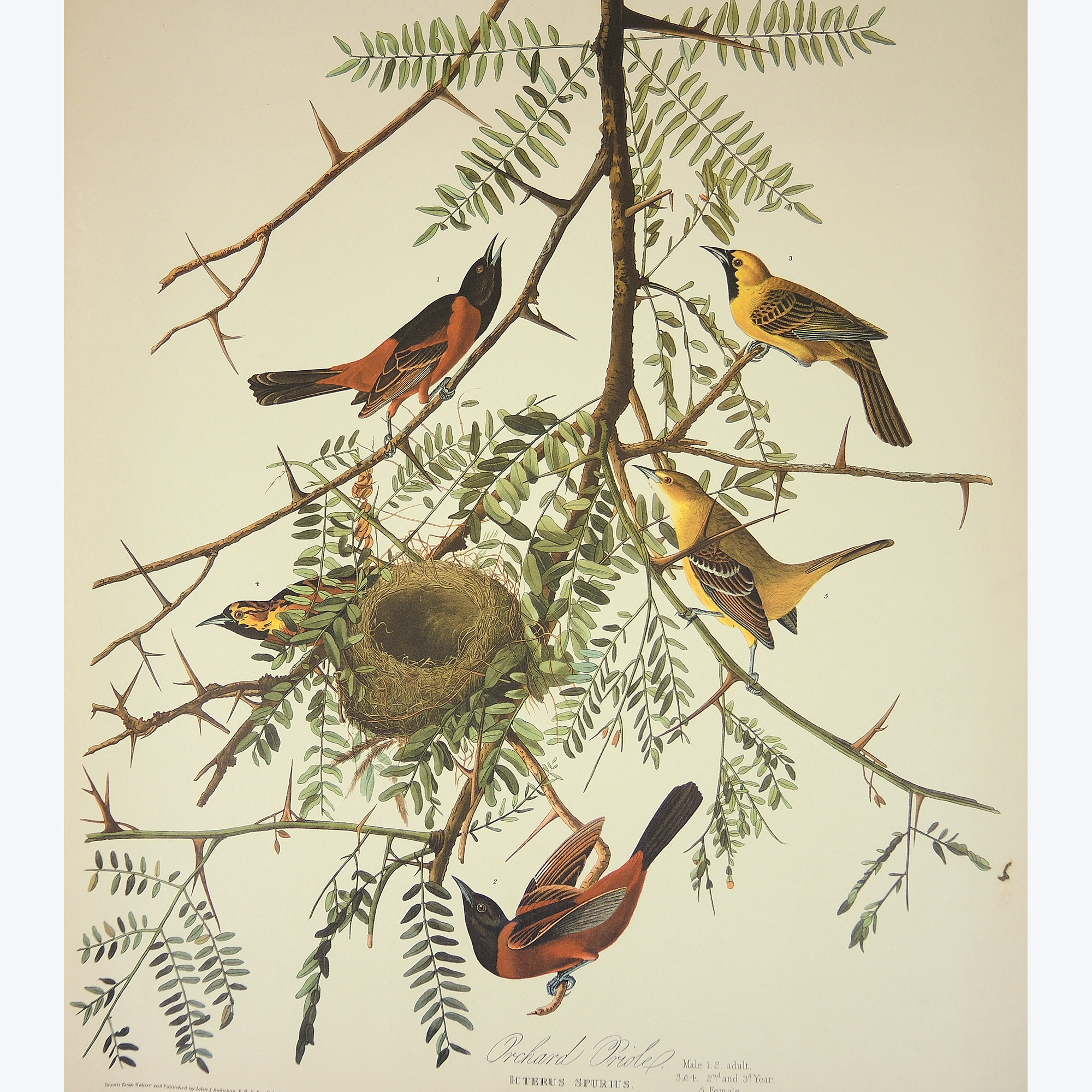 "Print After John J. Audubon and R. Havell ""Orchard Oriole"""